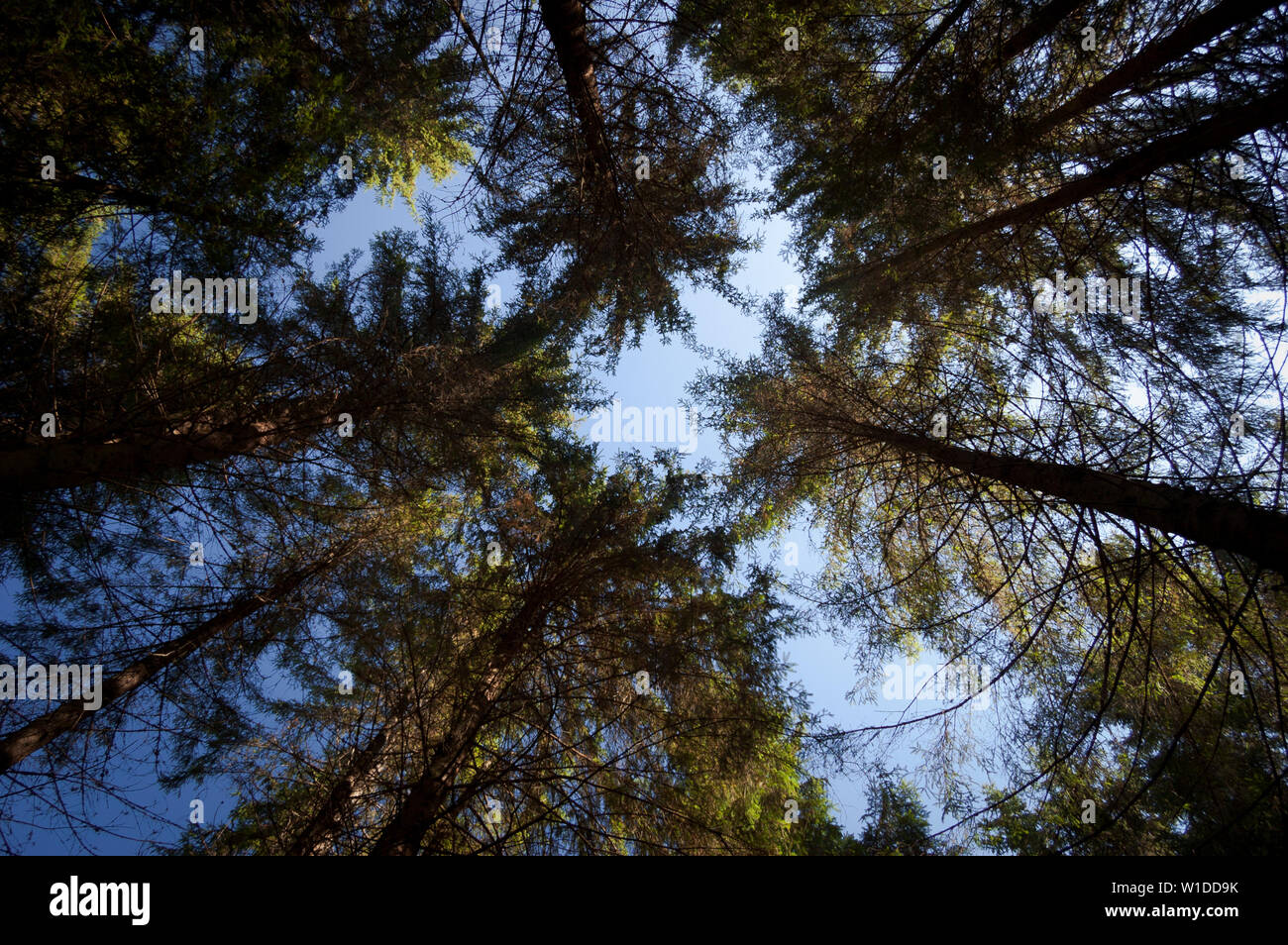The trunks of trees in the spruce forest. Bottom up view. Autumn sunny day. Natural abstraction from branches - Stock Image