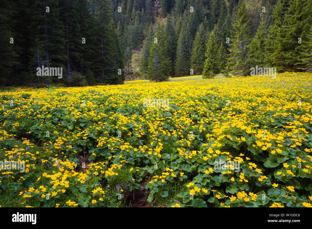 Yellow spring flowers. Wild buttercups in the marshland near the spruce forest. Blooming mountain valley - Stock Image