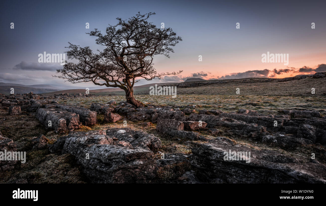 A lone weathered tree in amongst the limestone pavement of the Yorkshire Dales National Park - Stock Image