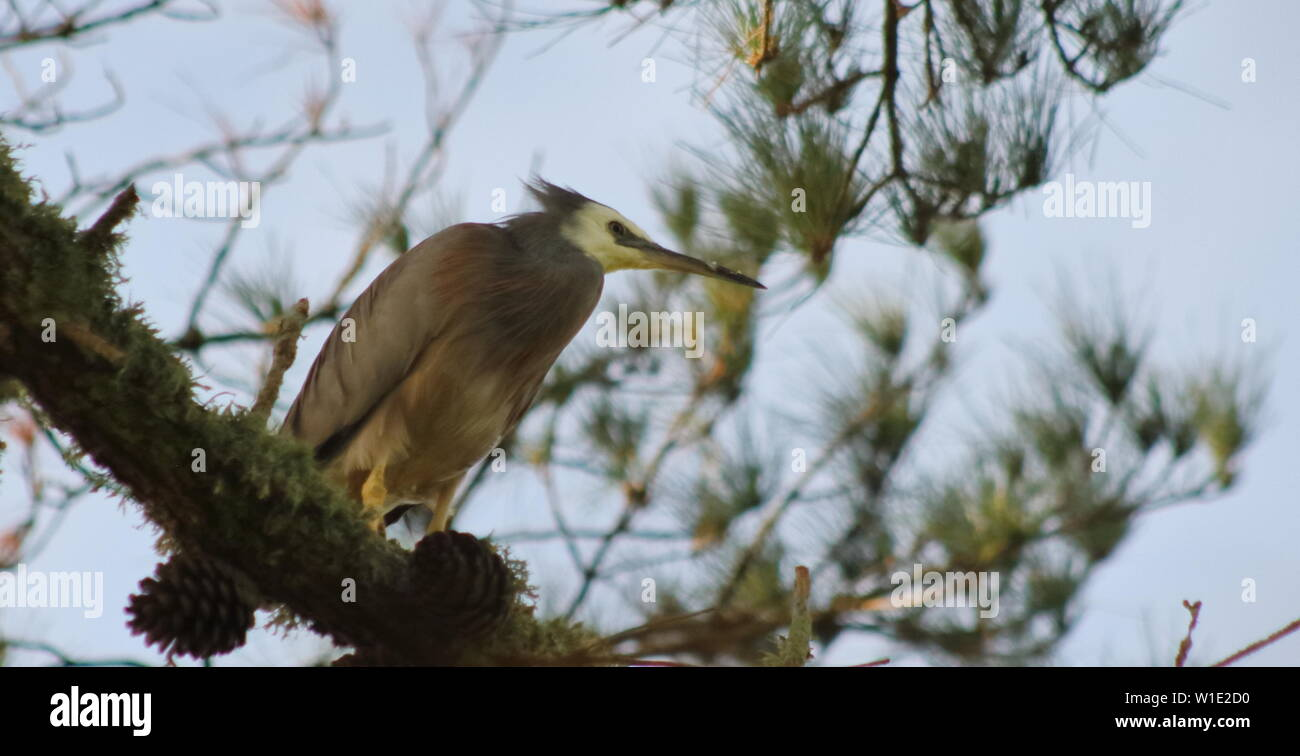 Grey faced heron on a big branch - Stock Image