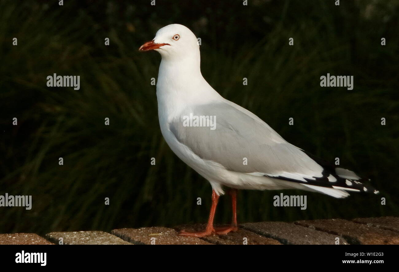 Red-billed seagull standing sideways - Stock Image