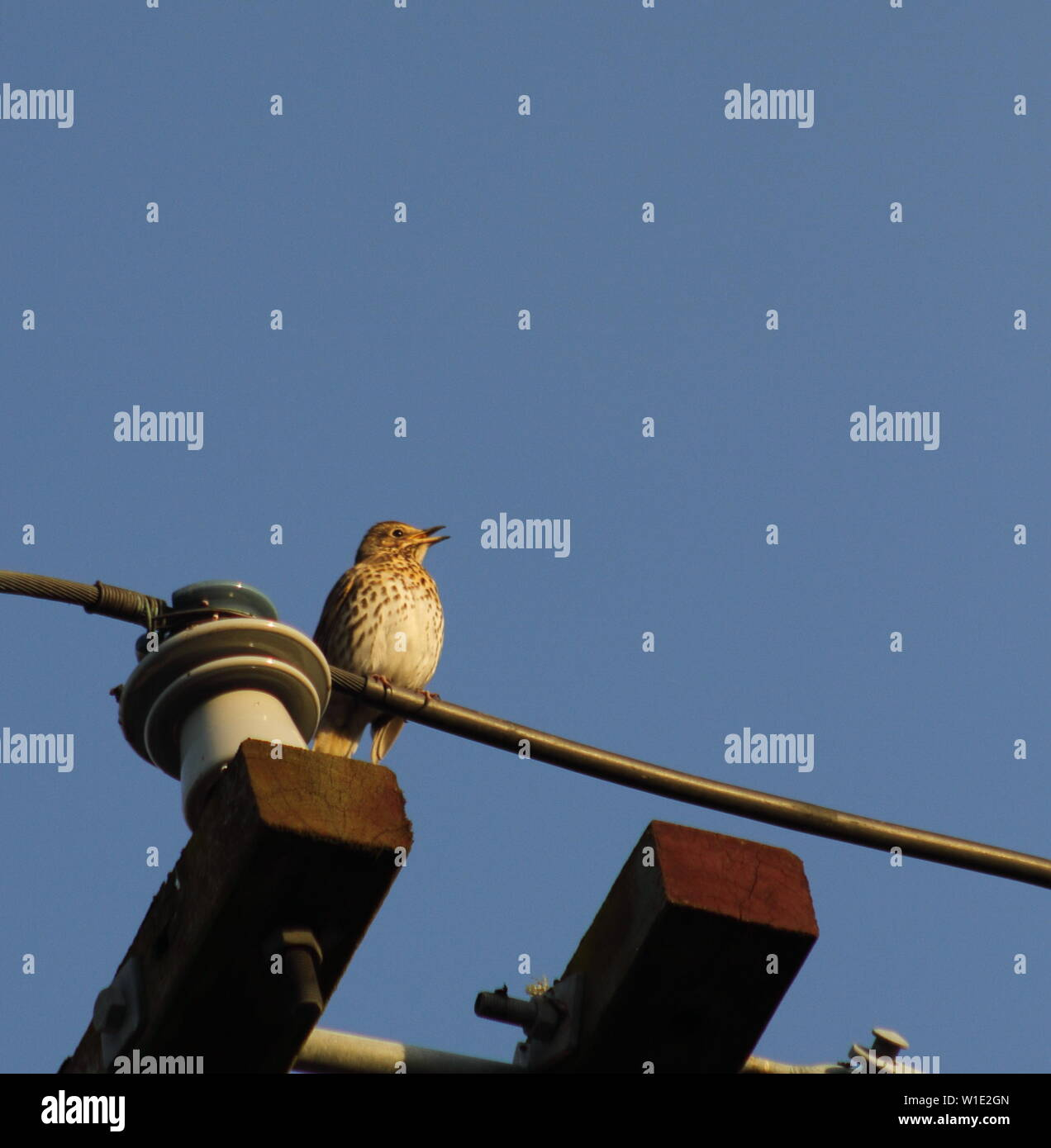 Songthrush on electrical wire Turdus philomelos - Stock Image