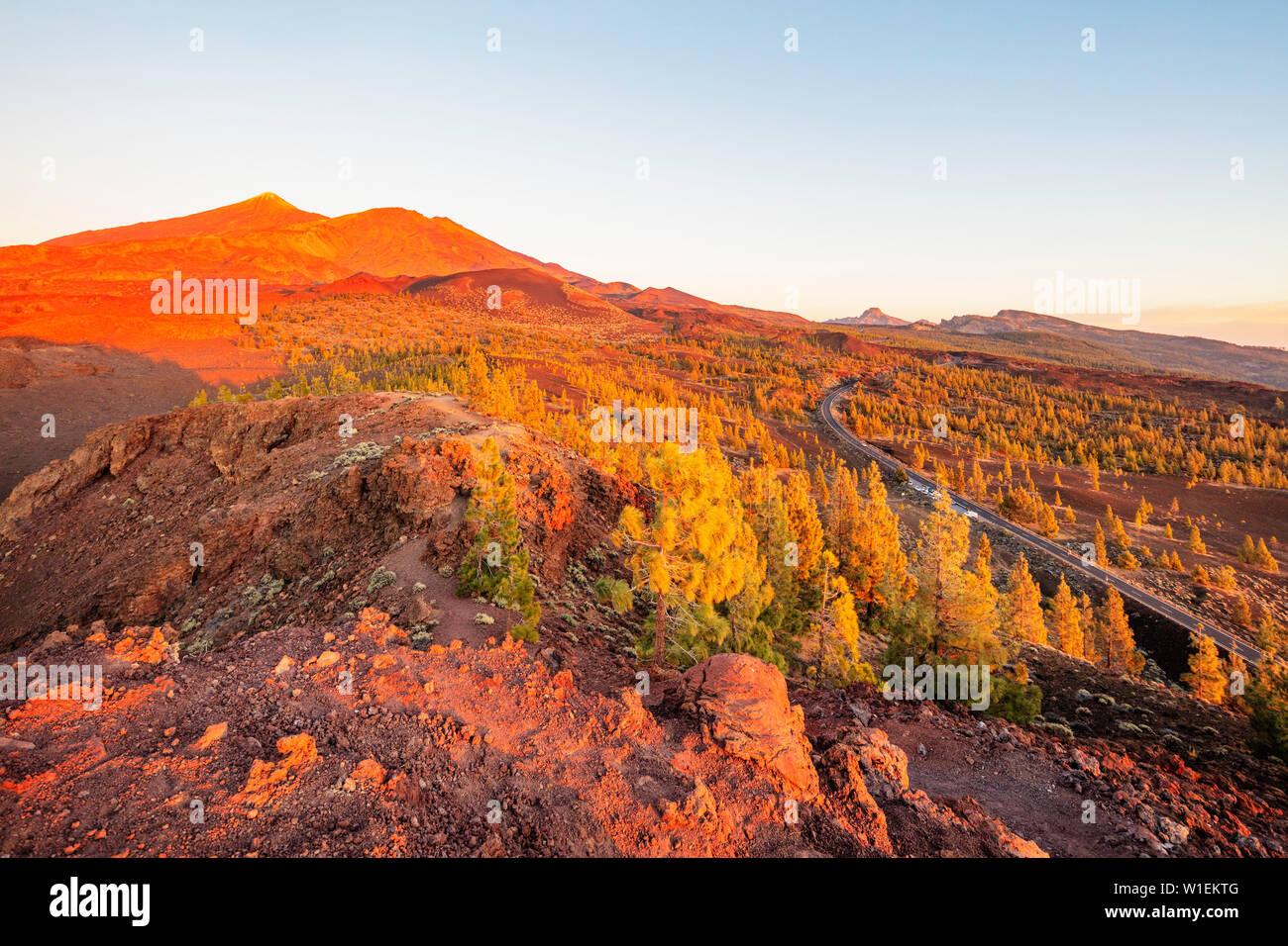 Conifer forest below Pico del Teide, 3718m, highest mountain in Spain, Teide National Park, UNESCO, Tenerife, Canary Islands, Spain, Atlantic - Stock Image