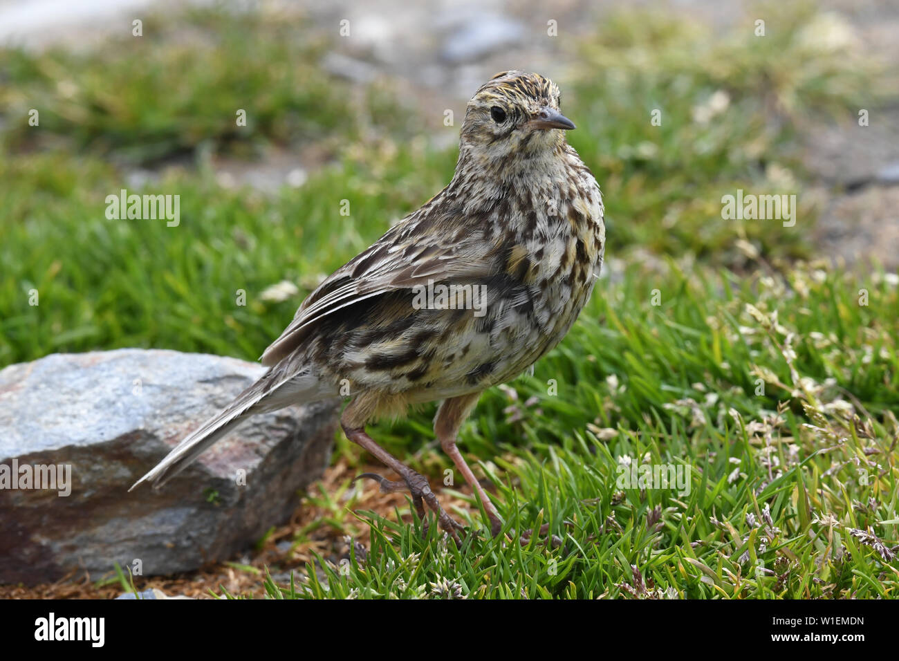 The endemic South Georgia pipit (Anthus antarcticus), the island's only passerine, King Edward Point, South Georgia, Polar Regions - Stock Image