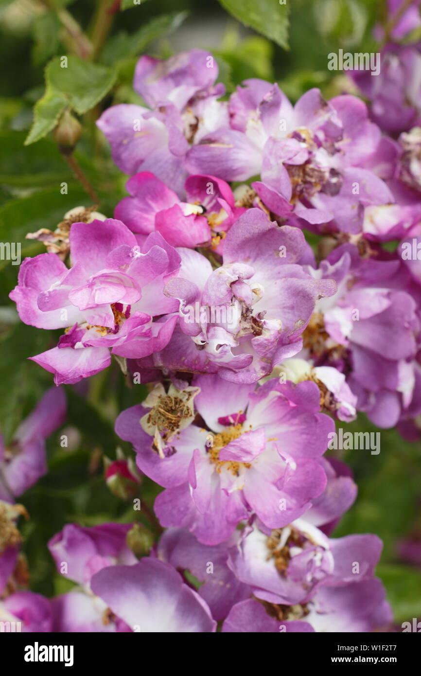 Rosa 'Veilchenblau'.  Pale magenta blooms of Rosa 'Veilchenblau', a hybrid multiflora rambling rose. AGM - Stock Image