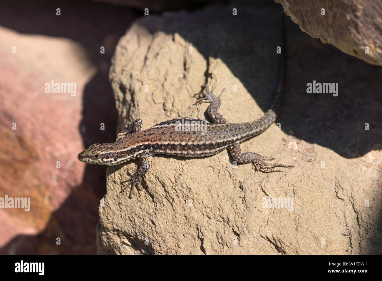 A brown reticulated common wall lizard on a stone wall in the sunshine. Frankfurt am Main. - Stock Image
