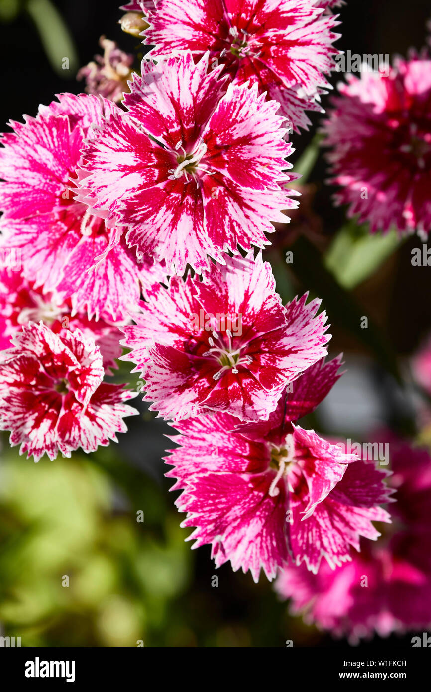 Pinks, Dianthus, flowering in a London urban garden in the summer, England, United Kingdom, Europe - Stock Image