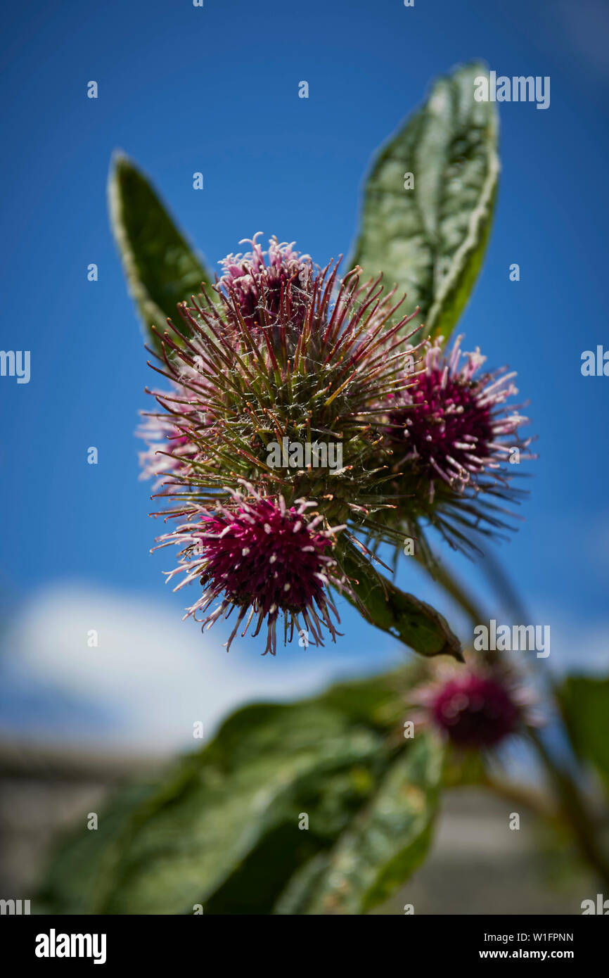 Burdock plant in flower against a bright blue summer sky - Stock Image