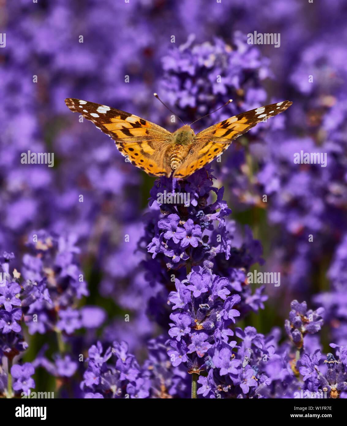 Butterfly feeding on radiant lavender plants in an urban garden - Stock Image