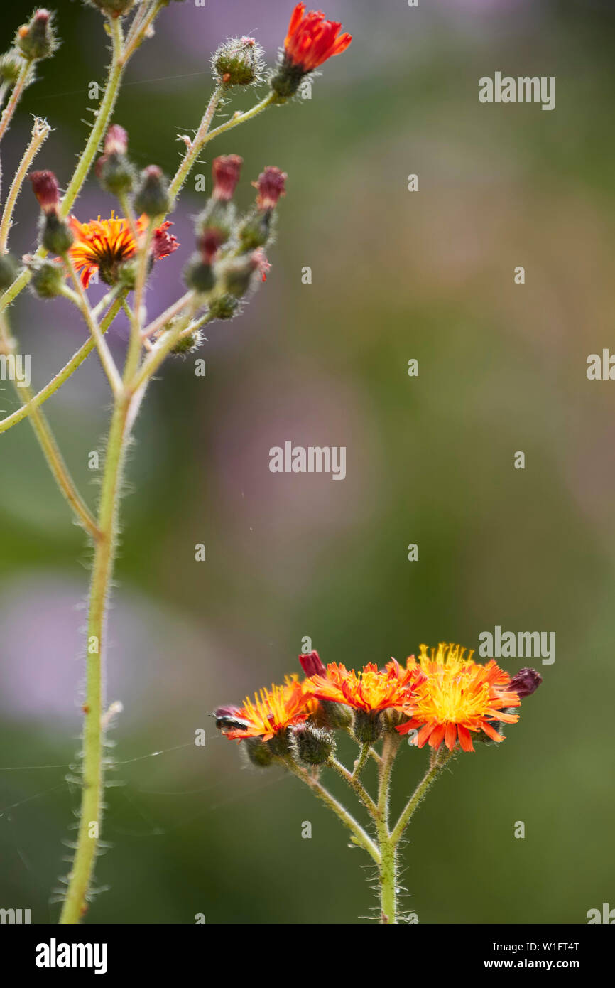 Hawkweed hairy stems and bright flowers close up nature portrait Stock Photo