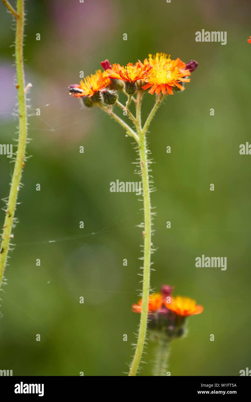 Hawkweed hairy stems and bright flowers close up nature portrait - Stock Image