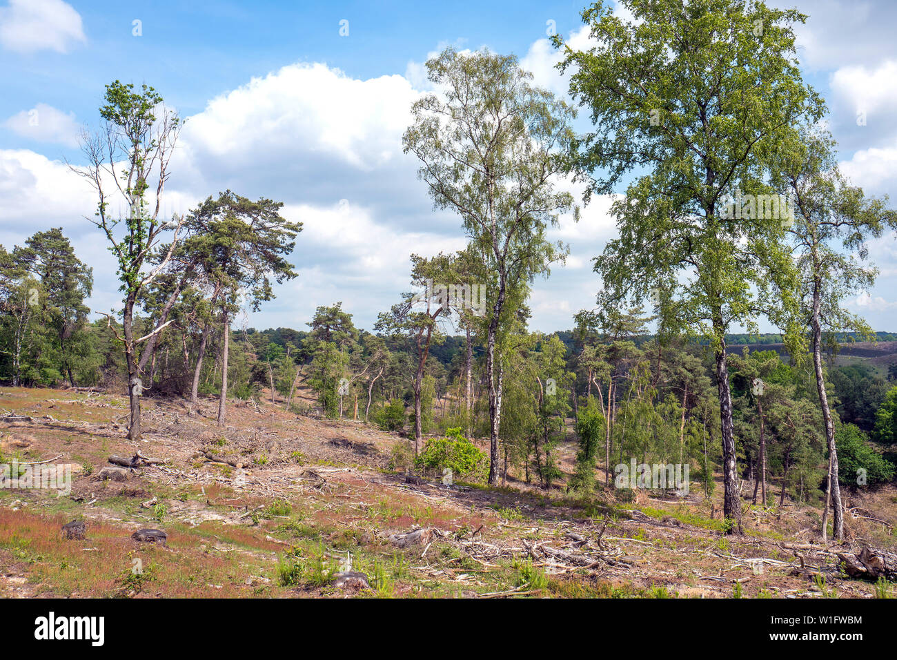 Landscape with birch trees and Pinus Sylvestris trees on the Posbank in the Netherlands. - Stock Image
