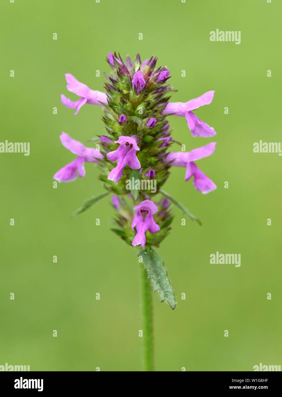 Ziest, Stachys, officinalis, Echter, Heilziest Stock Photo