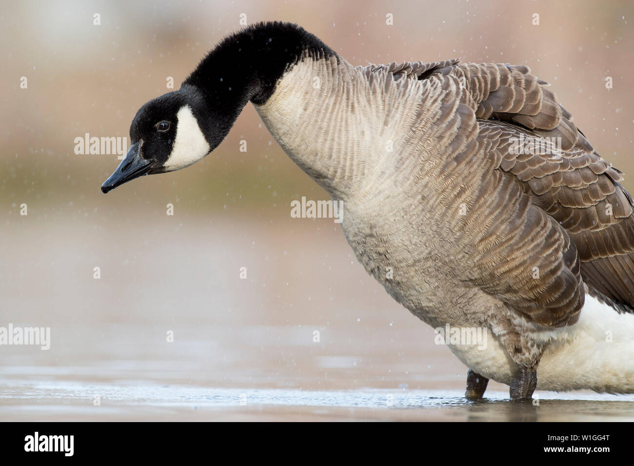 A Canada Goose shakes out its feathers after a bath and