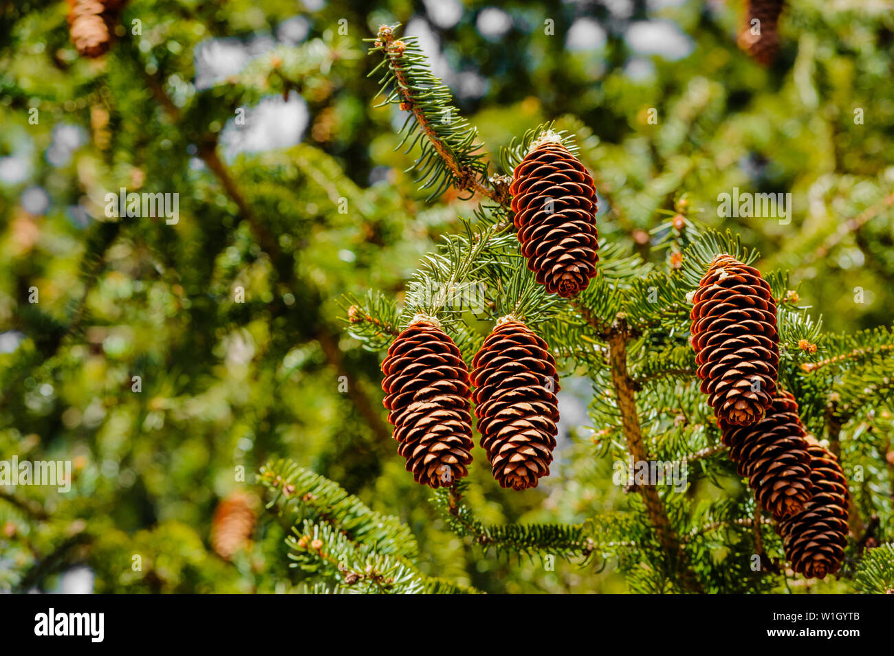 Cluster of conifer cones hanging off tree branch. - Stock Image