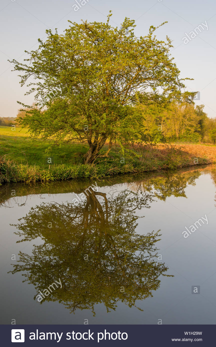 Tree reflention in still water of the Staffordshire canal between Stourton and Kinver during spring - Stock Image