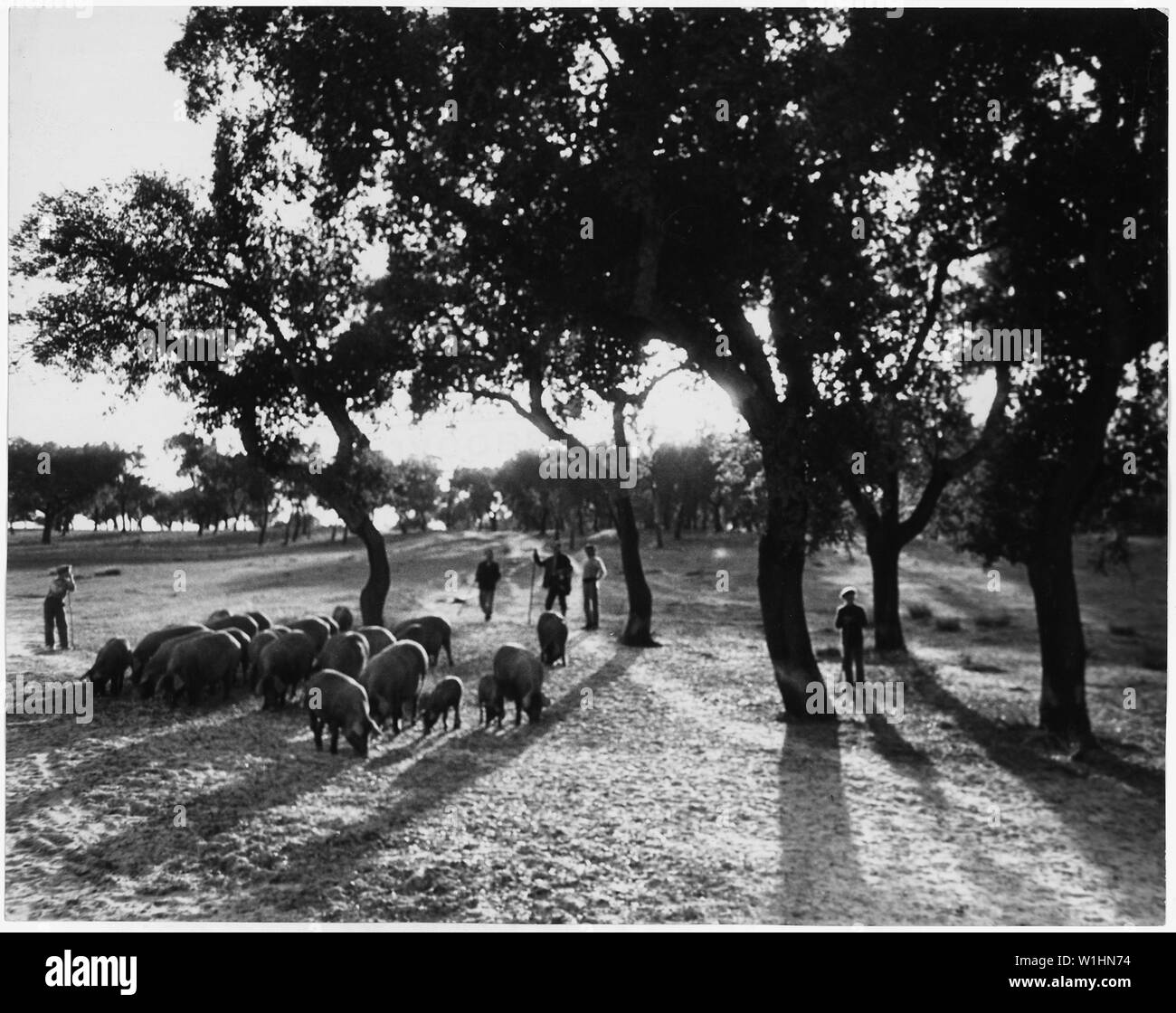 Portugal. Cork-tree groves near Vila Franca, the inland end of the city bay of Lisbon. Of all Portugal's exports, 22 percent in cork. Peasants herd their pigs in a cork grove here - Stock Image