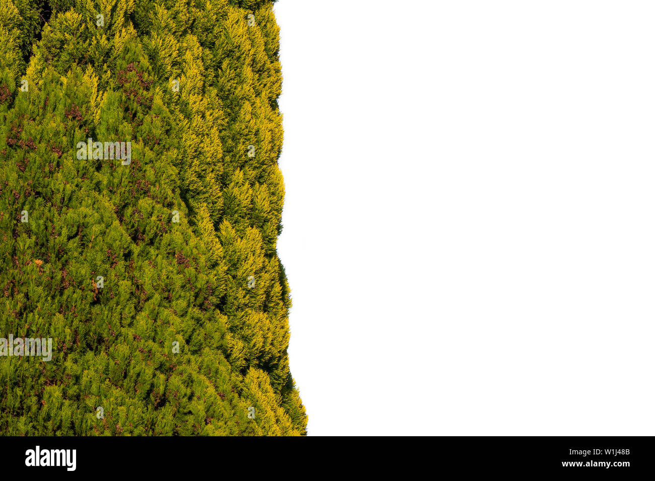 Thuja tree half concept, isolated on white. - Stock Image