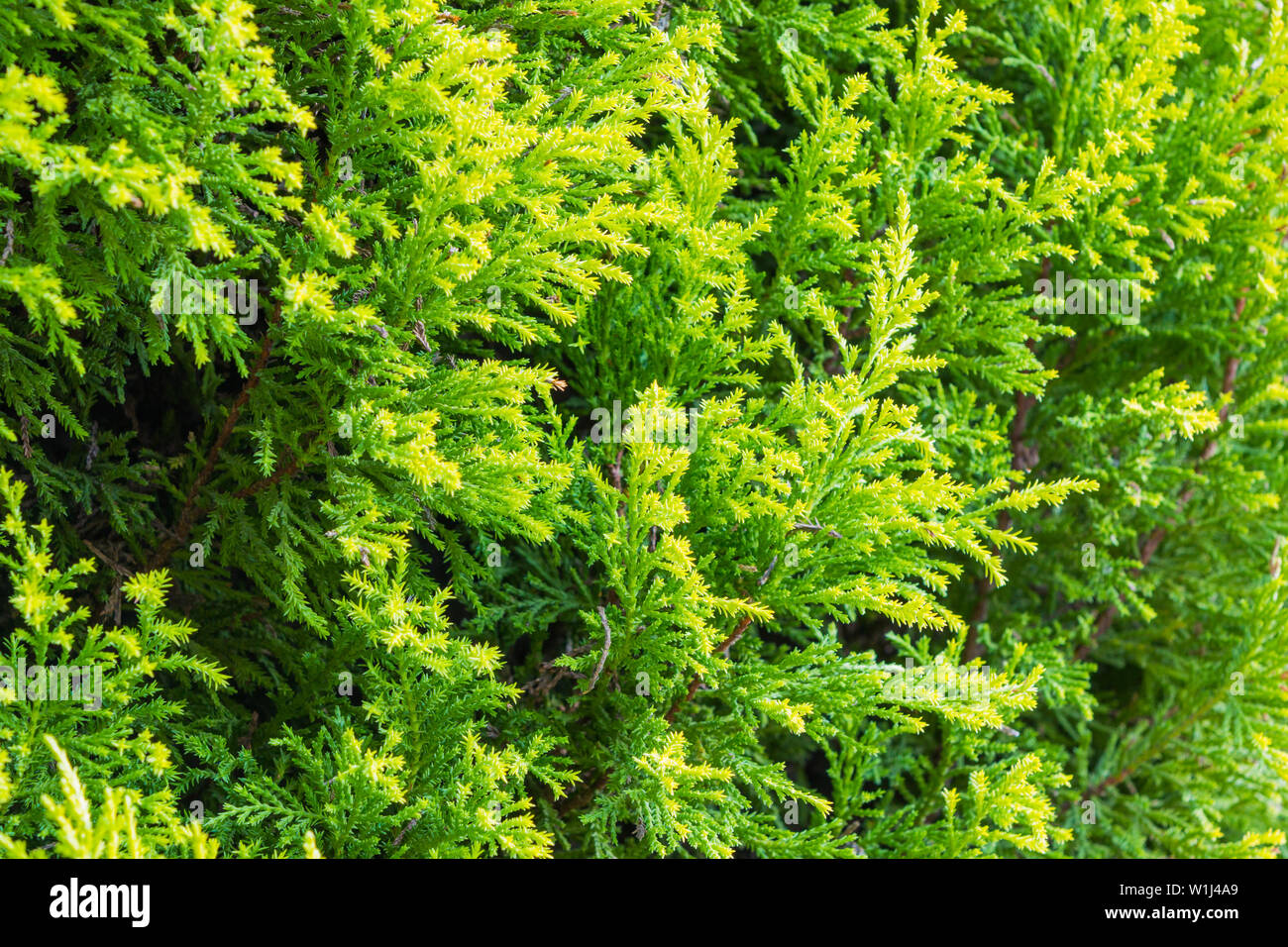 Thuja green texture natural background. - Stock Image