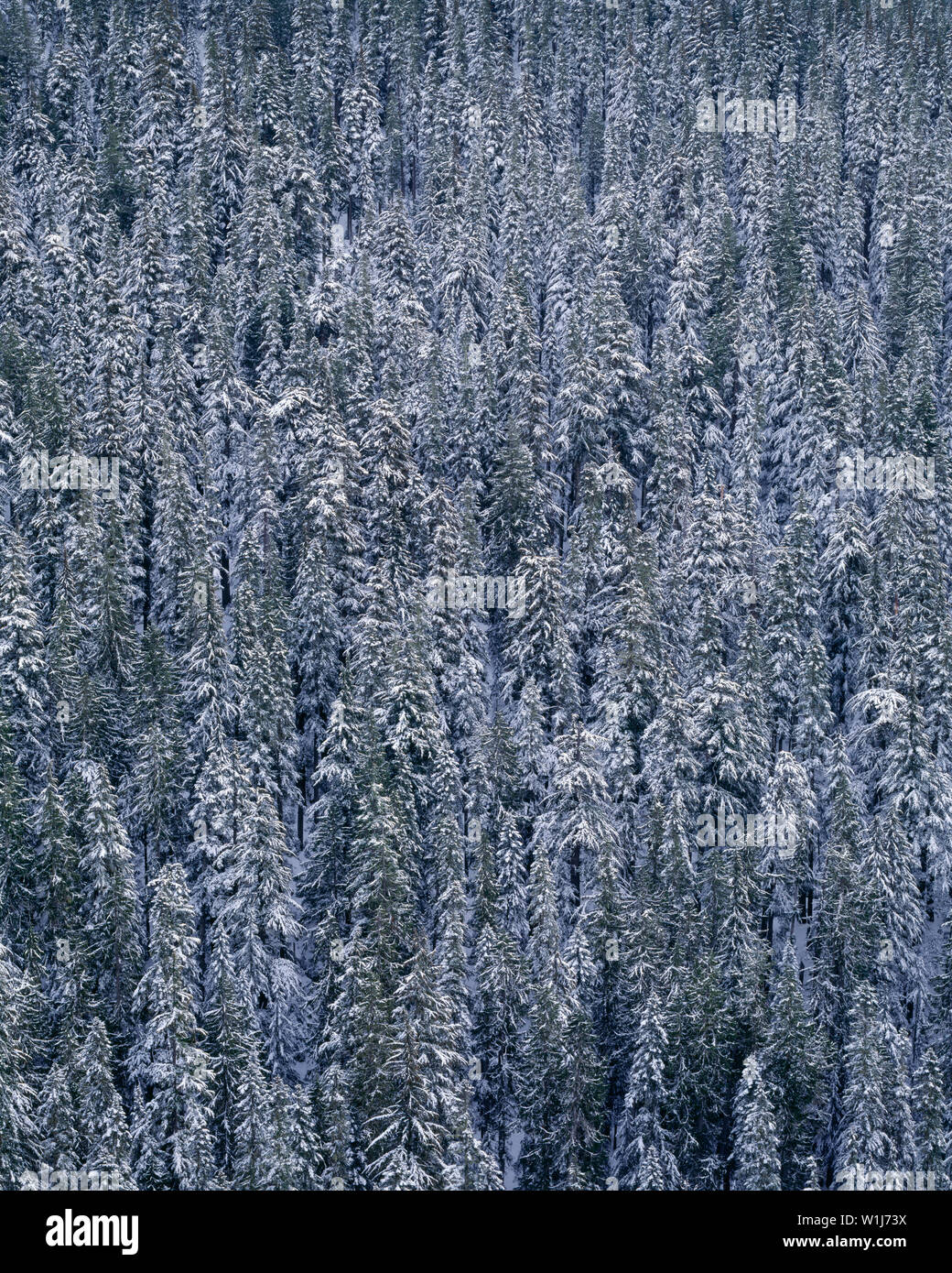 USA, Washington, Mt. Rainier National Park, Winter snow clings to conifer forest above Paradise River. - Stock Image