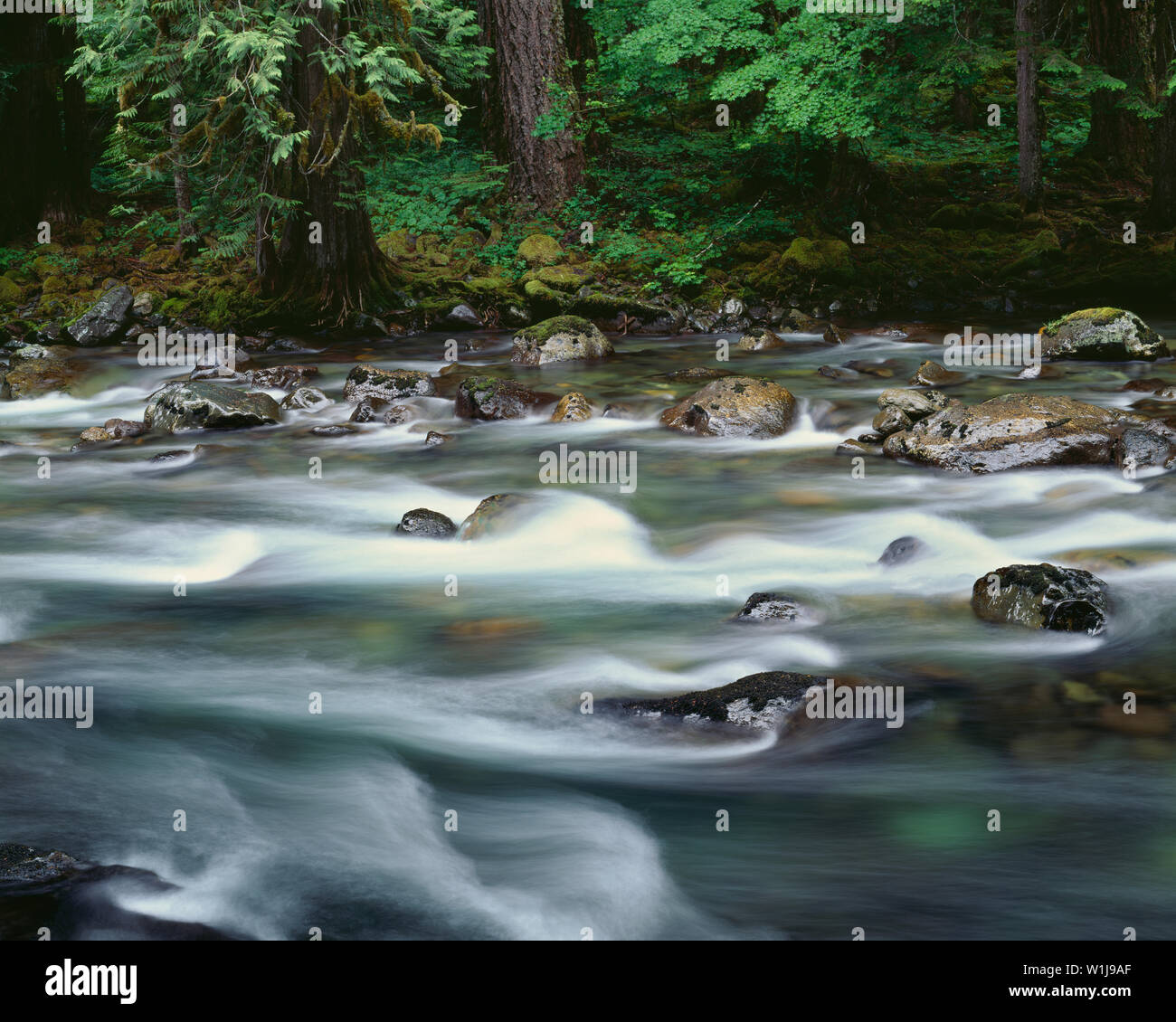 USA, Washington, Mt. Rainier National Park, Ohanepecosh River with spring runoff and surrounding forest. - Stock Image