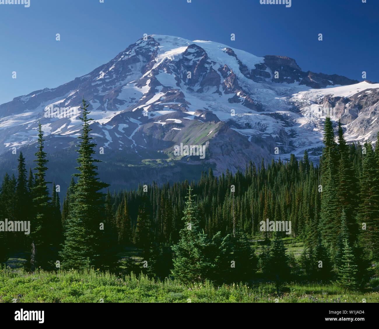 USA, Washington, Mt. Rainier National Park, Wildflower meadow and conifers below south side of Mt. Rainier. - Stock Image