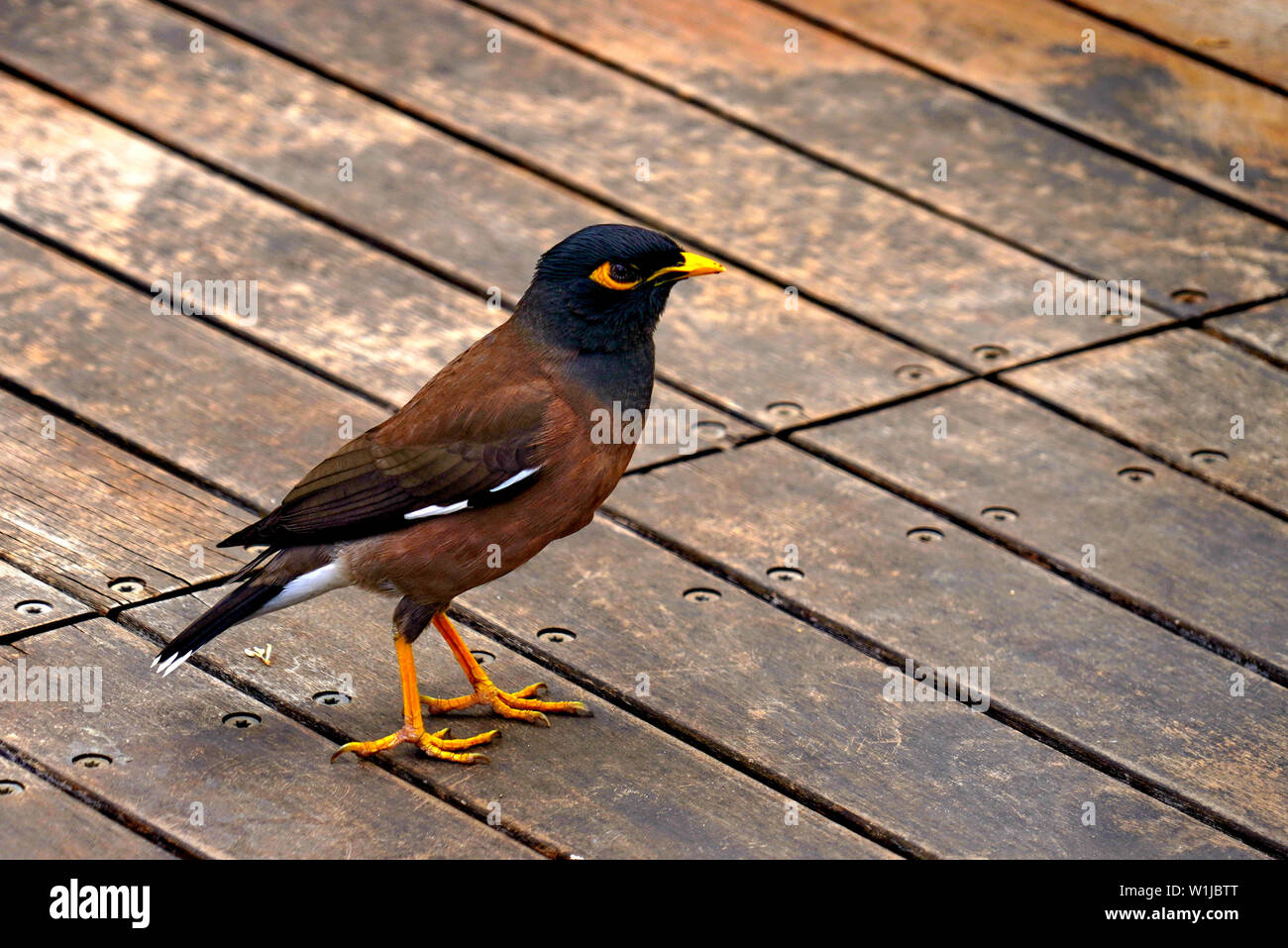 Common myna (or Indian Myna Acridotheres tristis). This bird is native to southern Asia from Afghanistan to Sri Lanka. The Myna has been introduced in - Stock Image