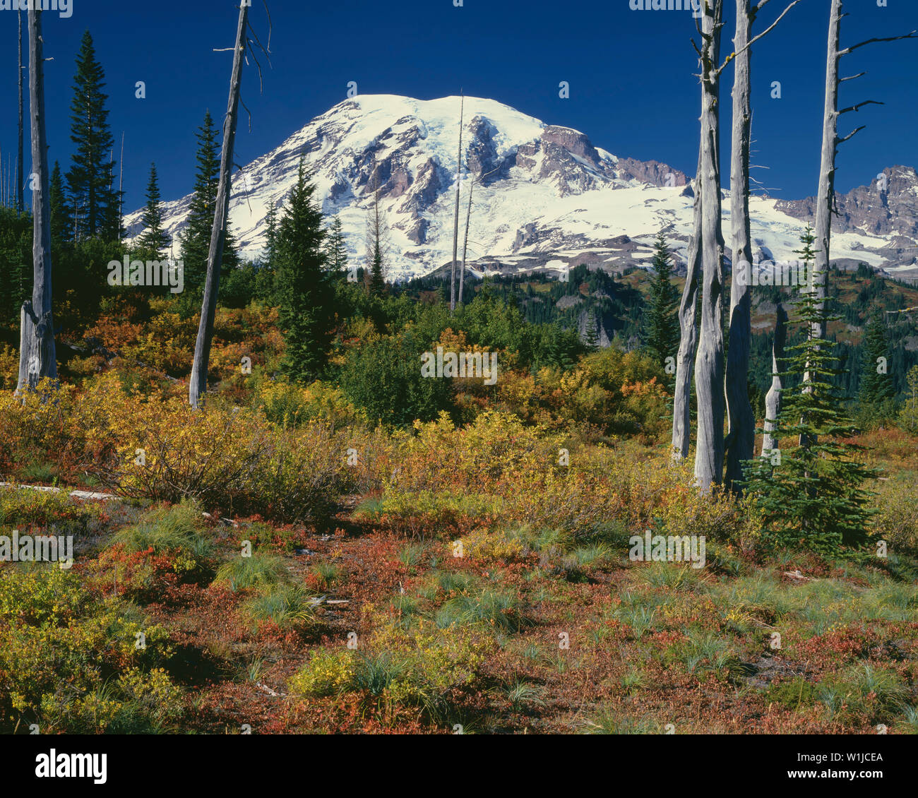 USA, Washington, Mt. Rainier National Park, South side of Mt. Rainier is framed by fire-caused snags. - Stock Image