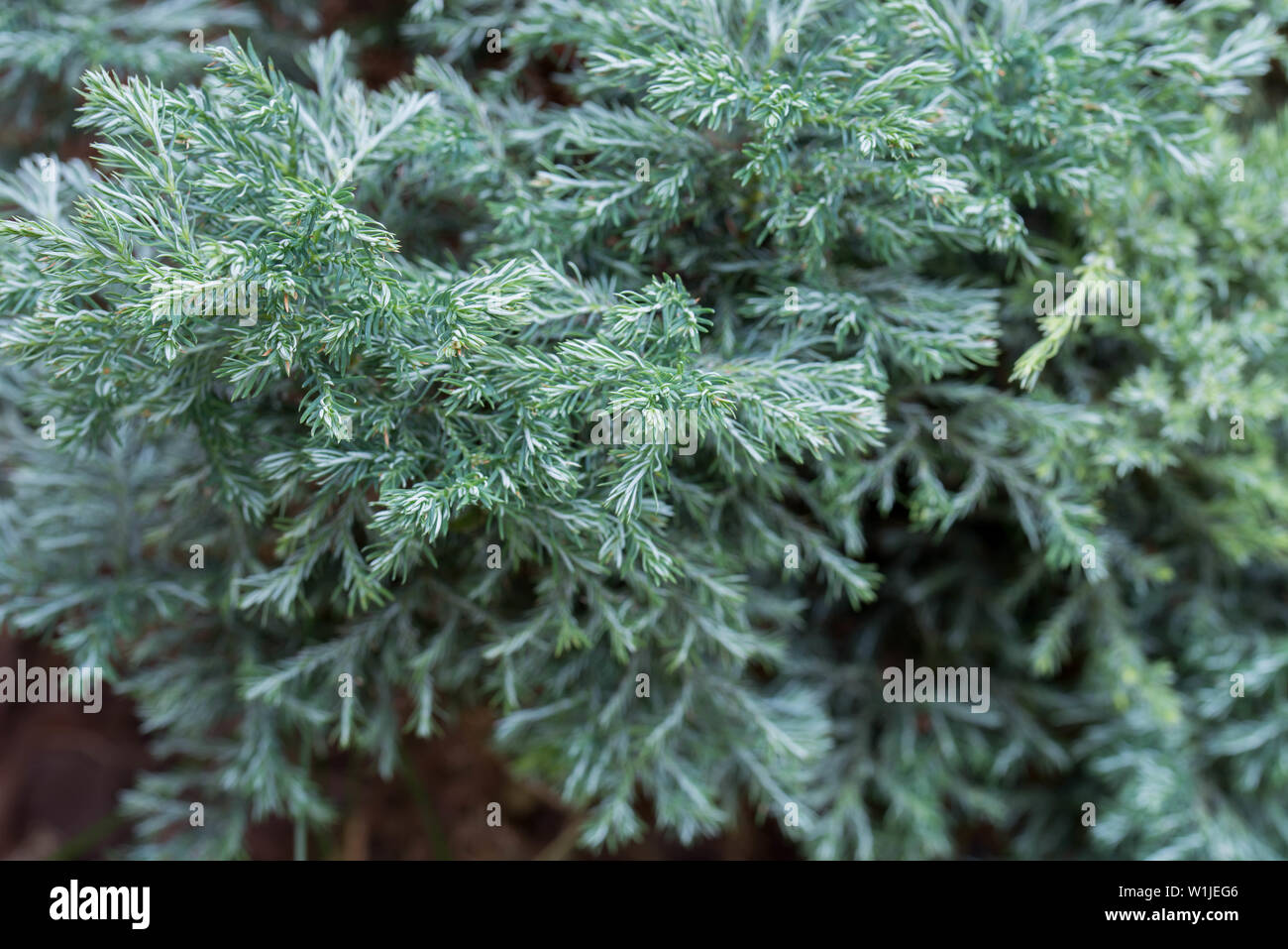 closeup to juniper twigs - Stock Image