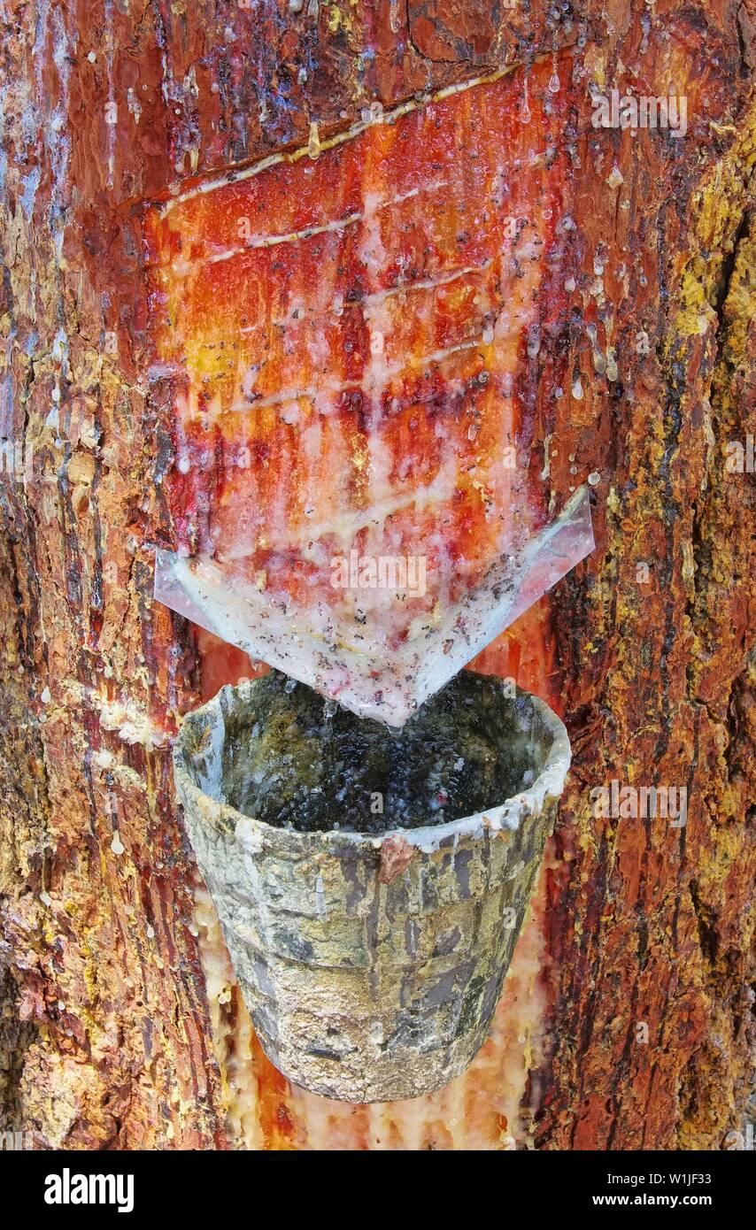 Pinienwald Harzgewinnung - pine forest resin extraction 08 - Stock Image