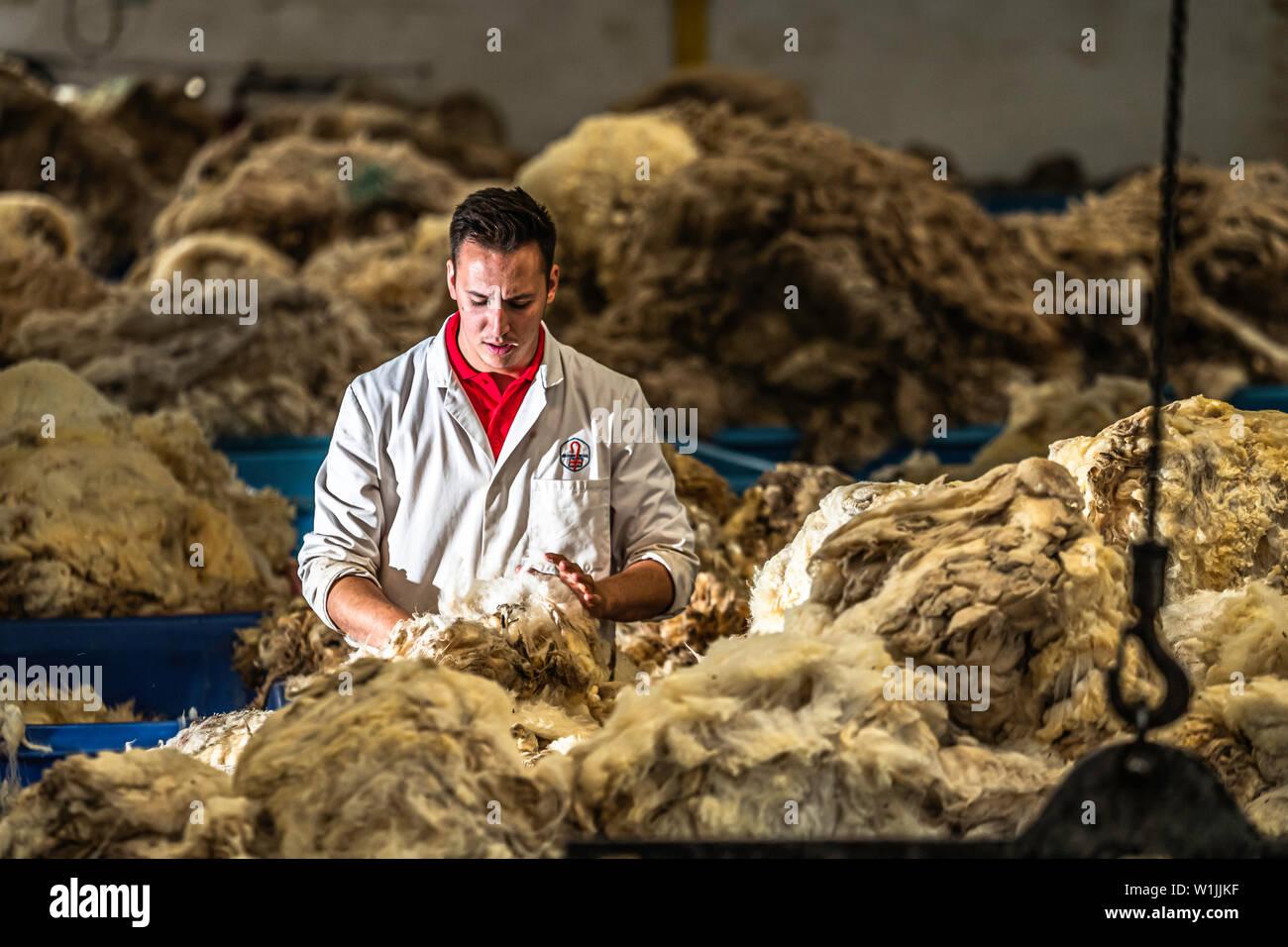 Galashiels, Scottish Borders, UK. 25th June 2019. The British Wool grading depot at Galashiels enters it's peak summer season as premium sheep fleeces - Stock Image