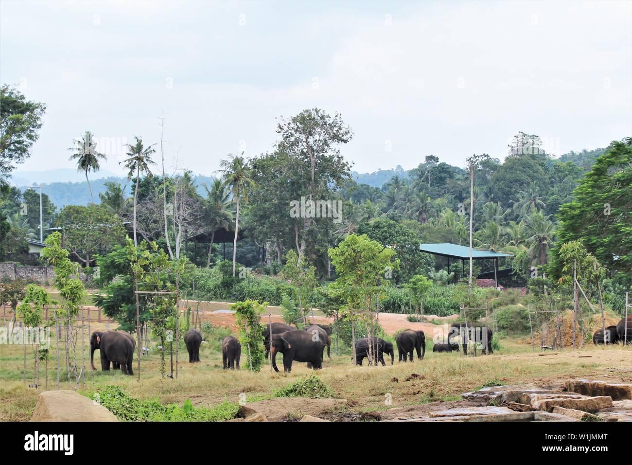 Elephants in green park in Srilanka Stock Photo