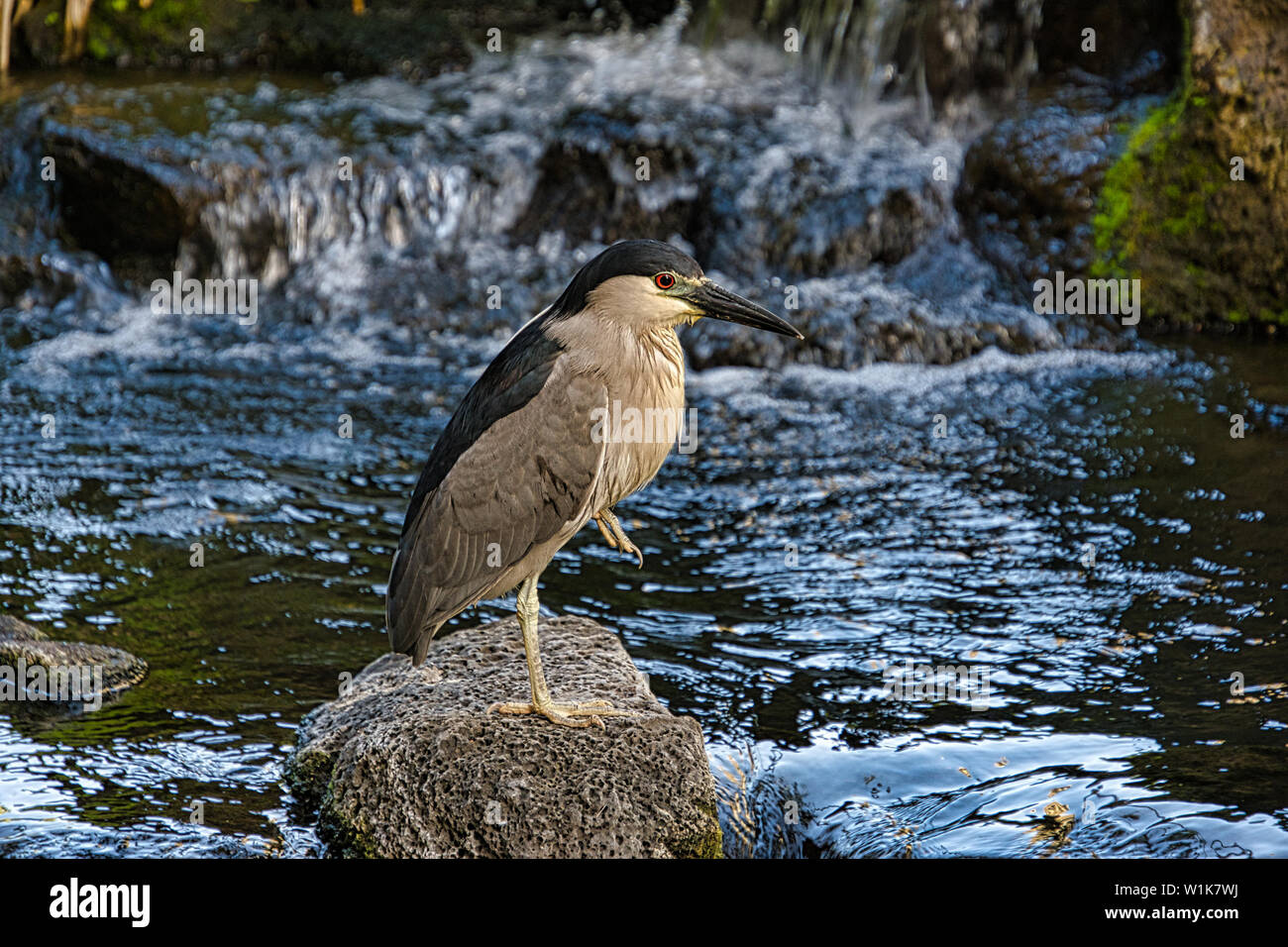 This little heron was perched by the Koi pond at the Hilton Hawaiian Village in Honolulu. - Stock Image