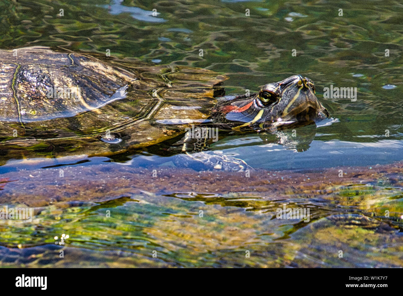 Another shot of the turtle in the pond at the Hawaiian Village resort in Honolulu. - Stock Image