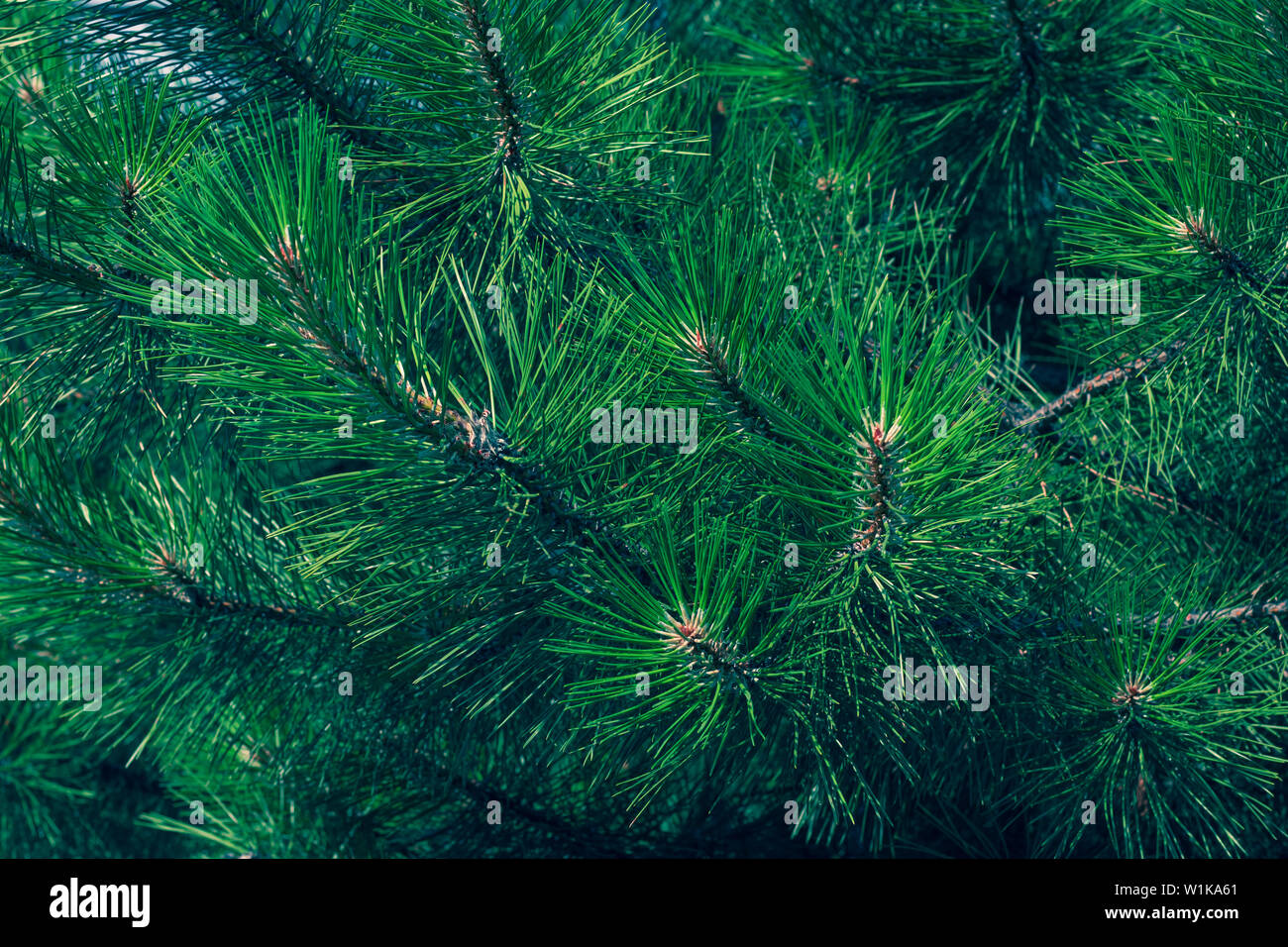 Green fir branch of a christmas tree. Coniferous needles close-up. Pine-tree background. Scotch fir. - Stock Image