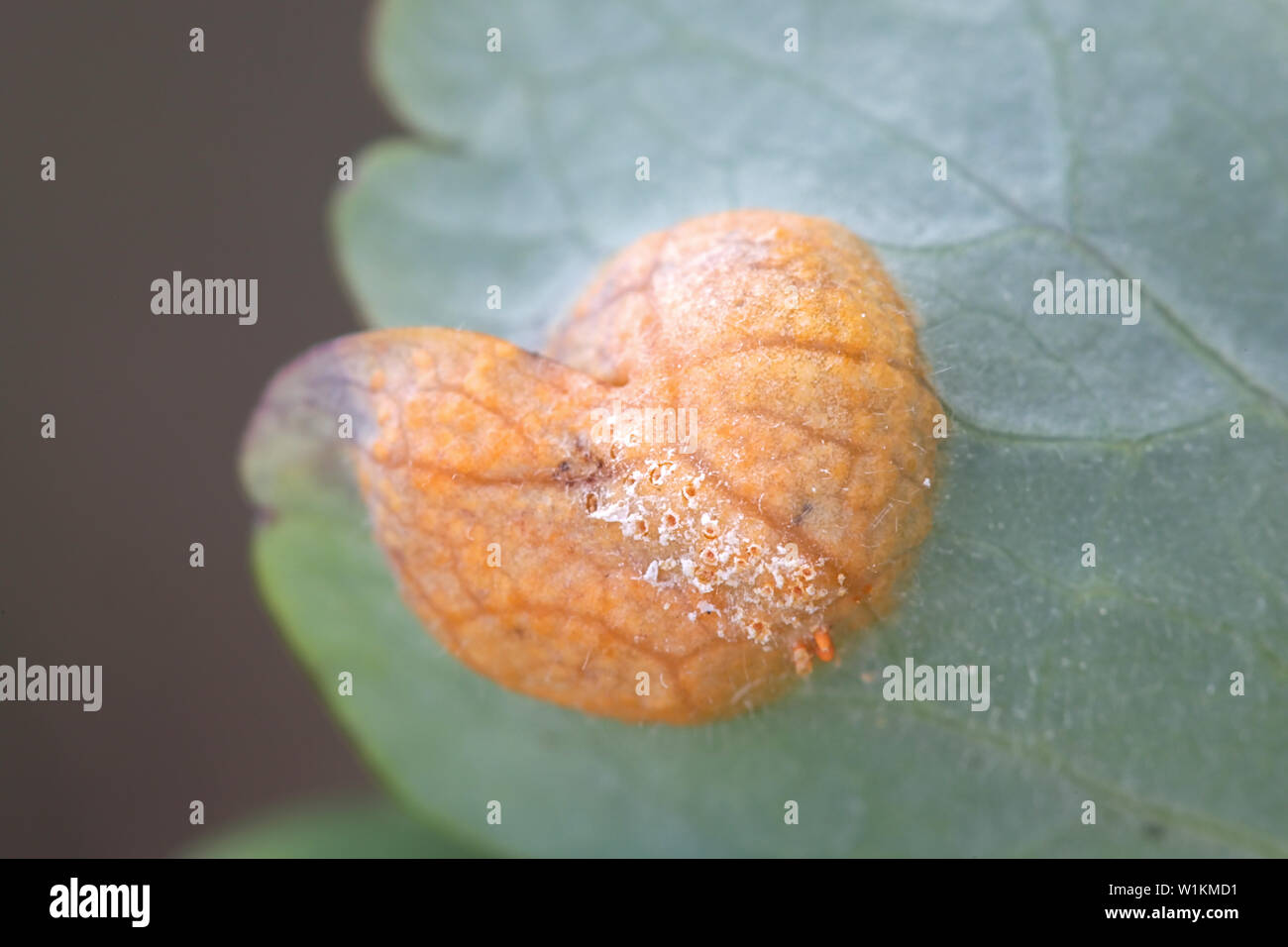 Puccinia agrostidis, known as the brown rust gall, a fungal plant pathogen - Stock Image