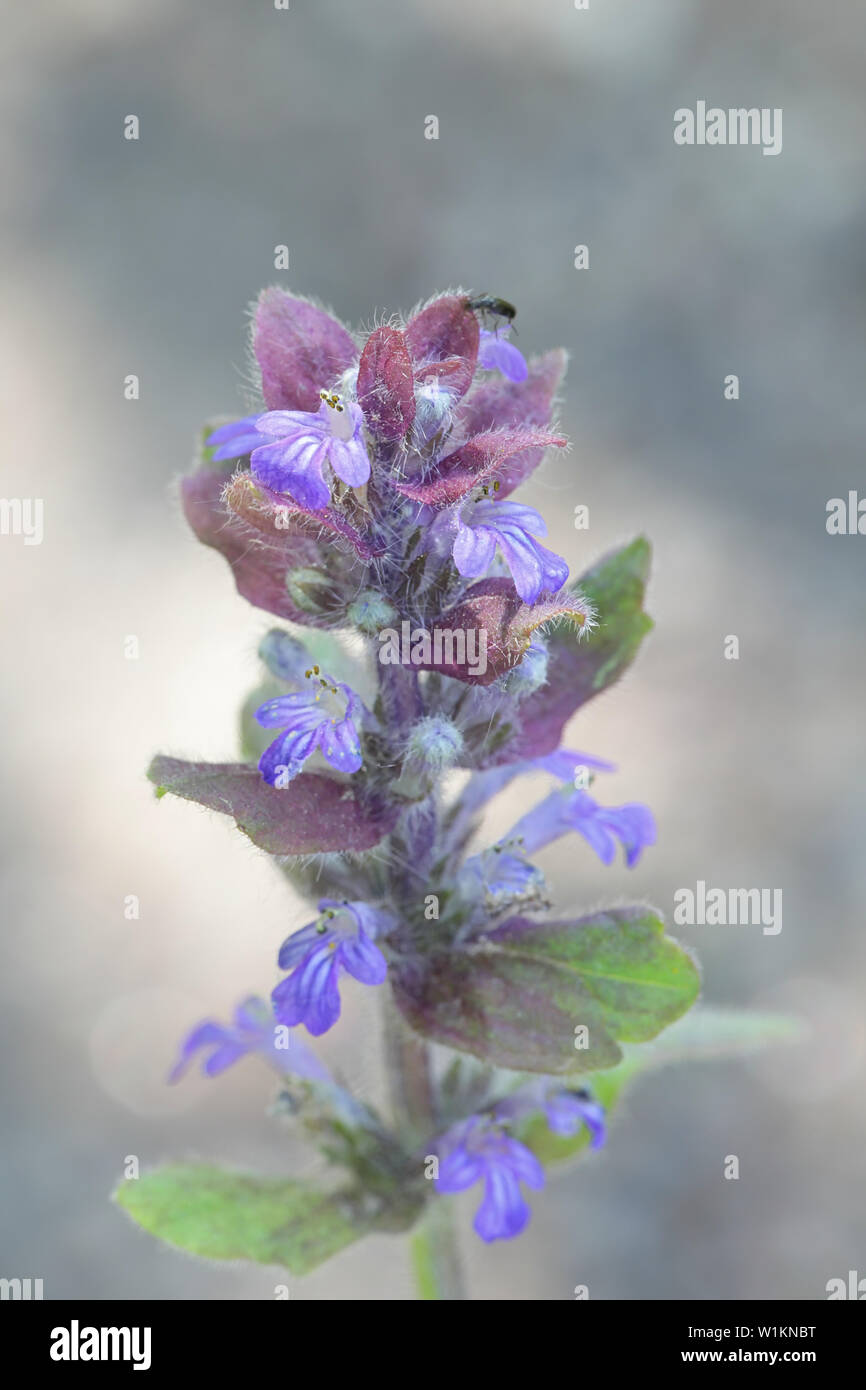 Ajuga reptans, known as bugle, blue bugle, bugleherb, bugleweed, carpetweed, carpet bugleweed, and common bugle, growing wild in Finland Stock Photo