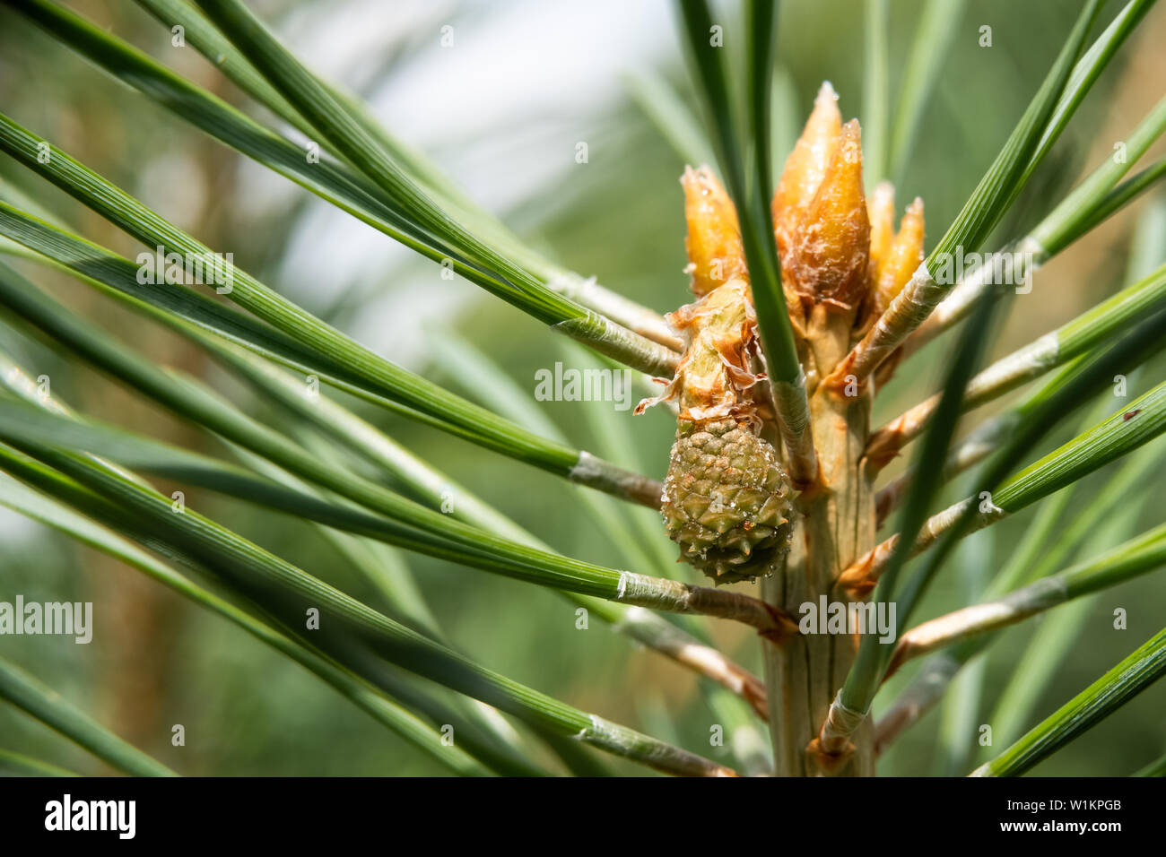 Description: Green mountain pine (Pinus mugo) closeup with young cones on blurred colorful autumn forest background with beautiful bokeh. - Stock Image