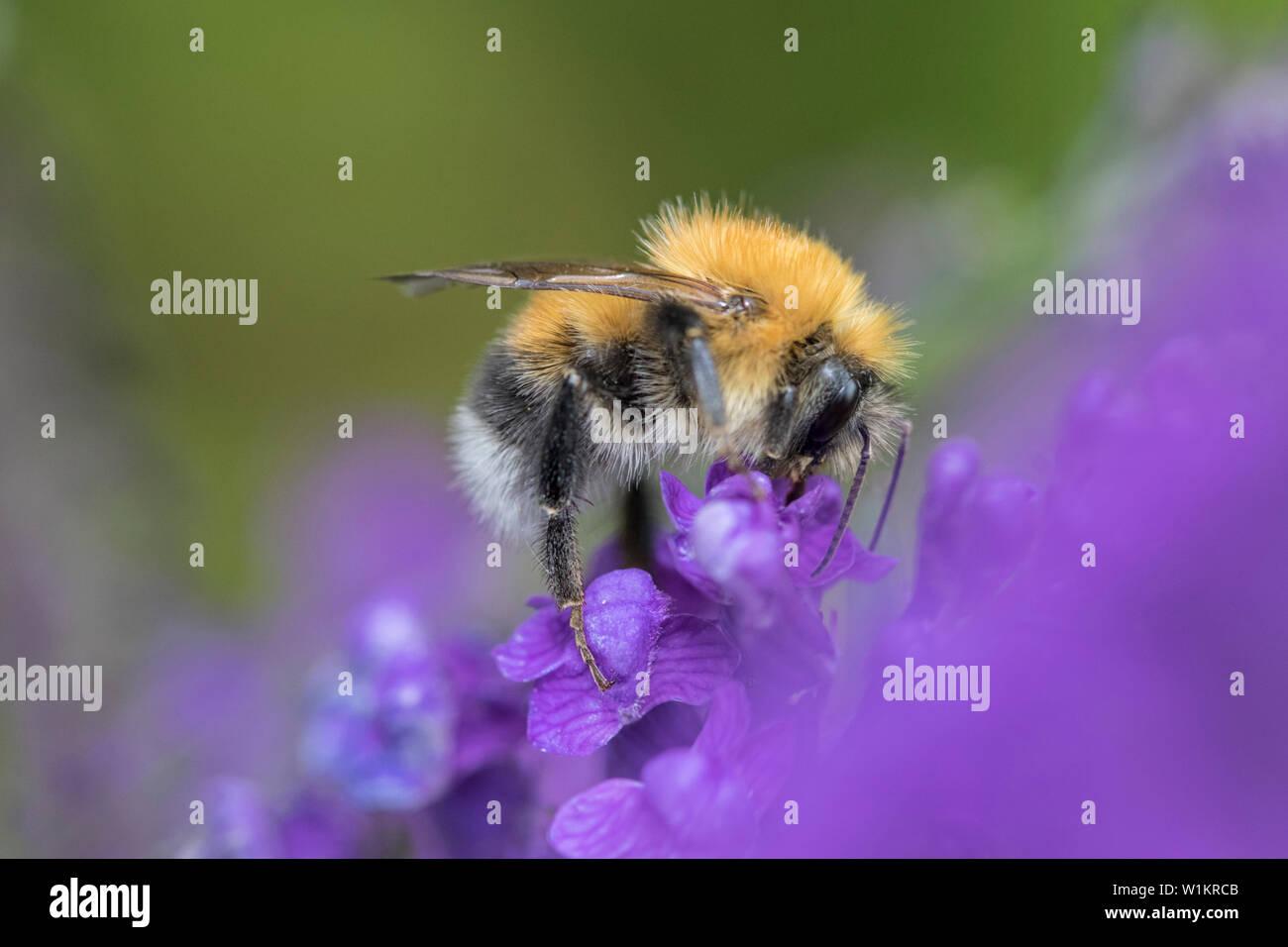 Bumble Bee on lavender, England, UK - Stock Image