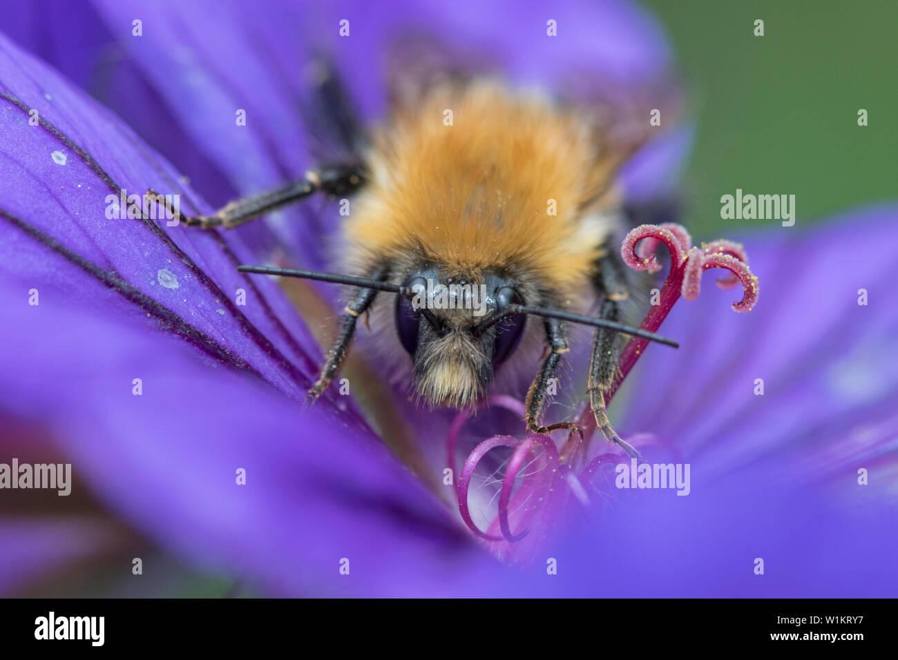 Bumble Bee on Geranium, England, UK - Stock Image