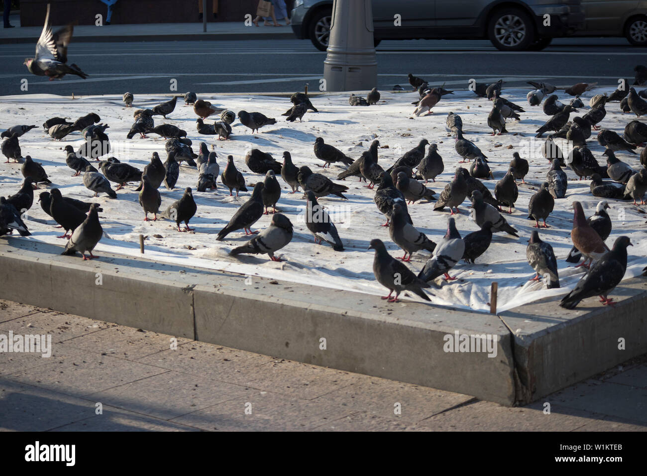Flock of pigeon on the side walk at the. Blurred group of pigeons fight over for food, many struggle pigeons near temple in State Mosque, Kota Kinabal - Stock Image