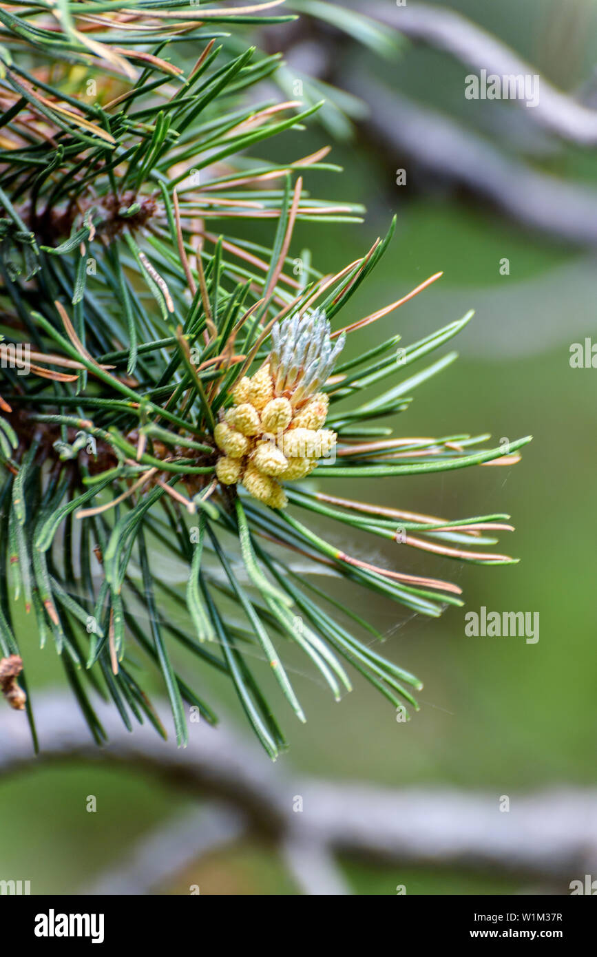 Pine cone in Andorra. - Stock Image