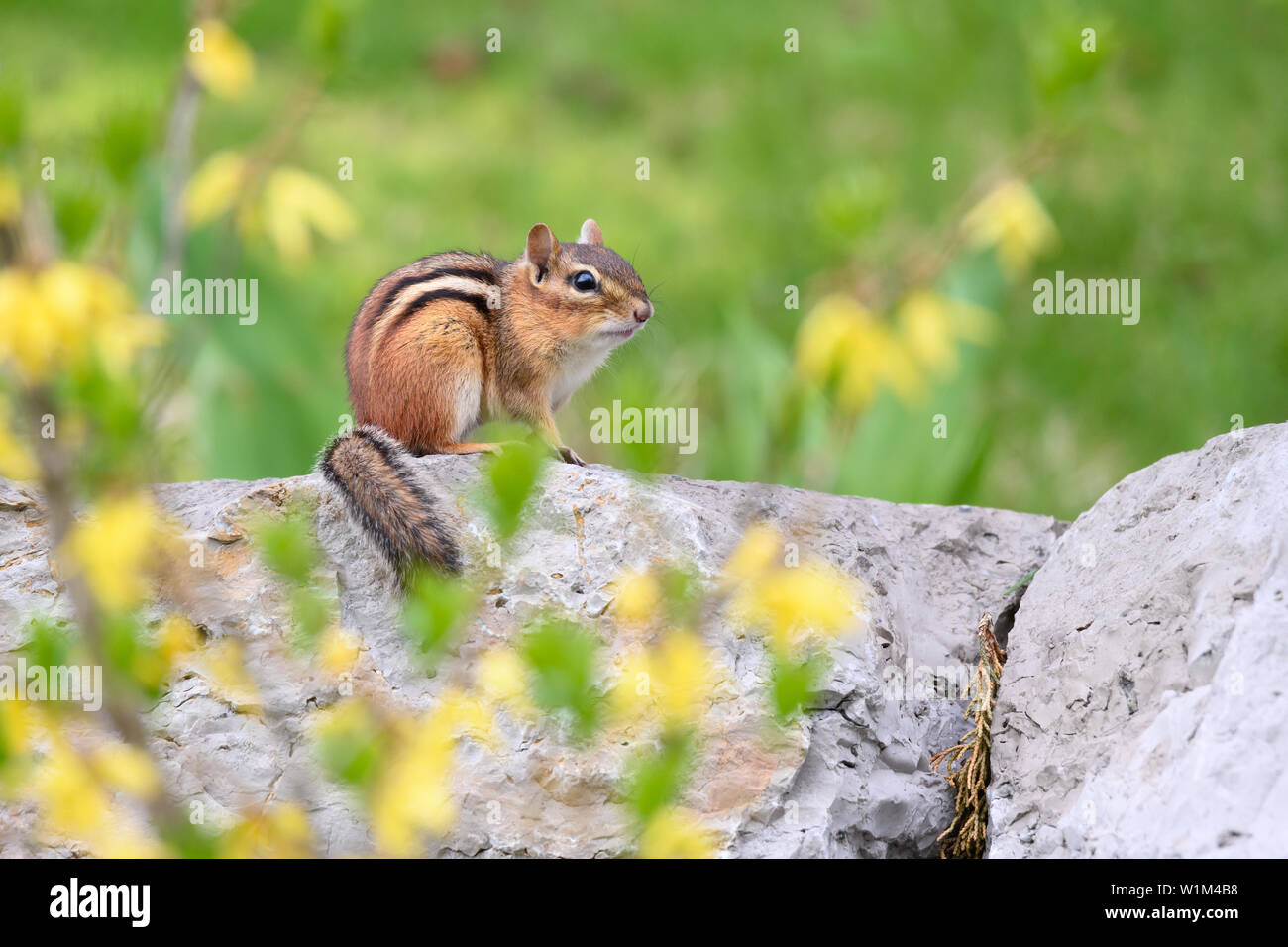 An Eastern Chipmunk poses on a stone wall, surrounded by flowering forsythia, in Scarborough, Ontario. Stock Photo
