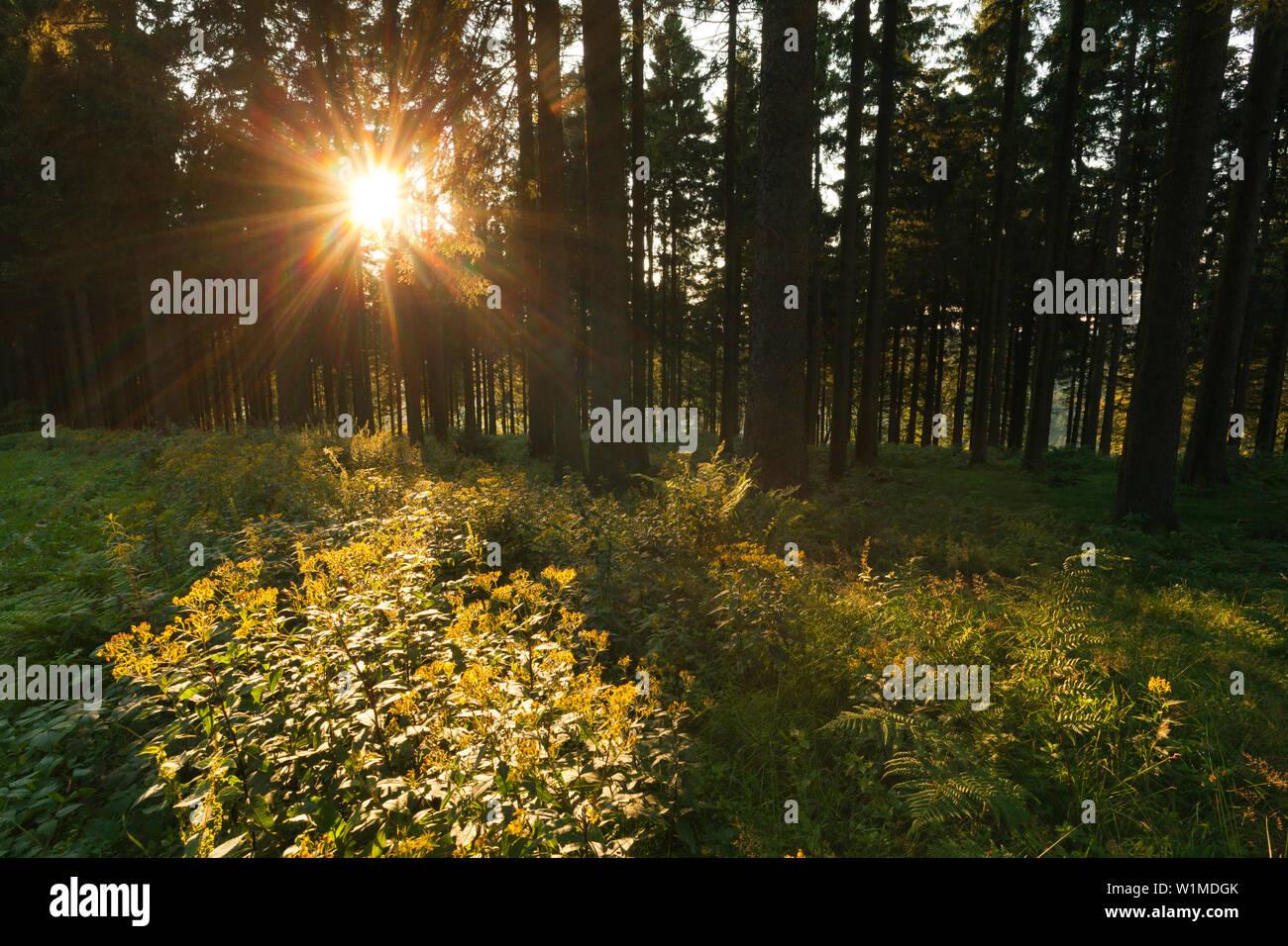 Spruce forest at Kahler Asten hill near Winterberg, Rothaarsteig hiking trail, Rothaargebirge, Sauerland region, North Rhine-Westphalia, Germany - Stock Image
