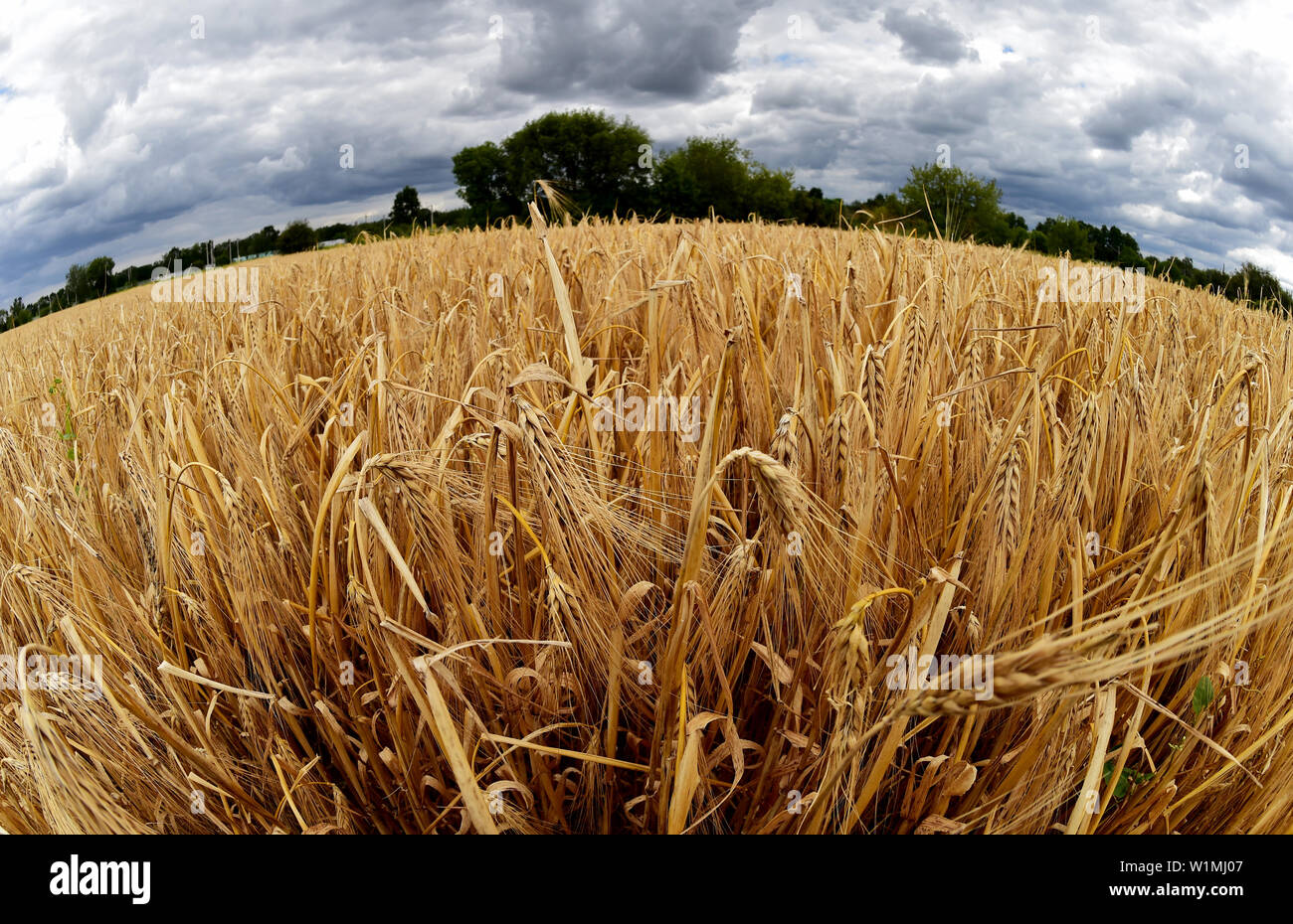 03 July 2019, Brandenburg, Dallgow-Döberitz: Dark clouds are pulling over a field with winter barley during the press conference to start the harvest on a Brandenburg farm. Late frosts and drought are expected to cause large crop losses. Photo: Bernd Settnik/dpa-Zentralbild/dpa - Stock Image