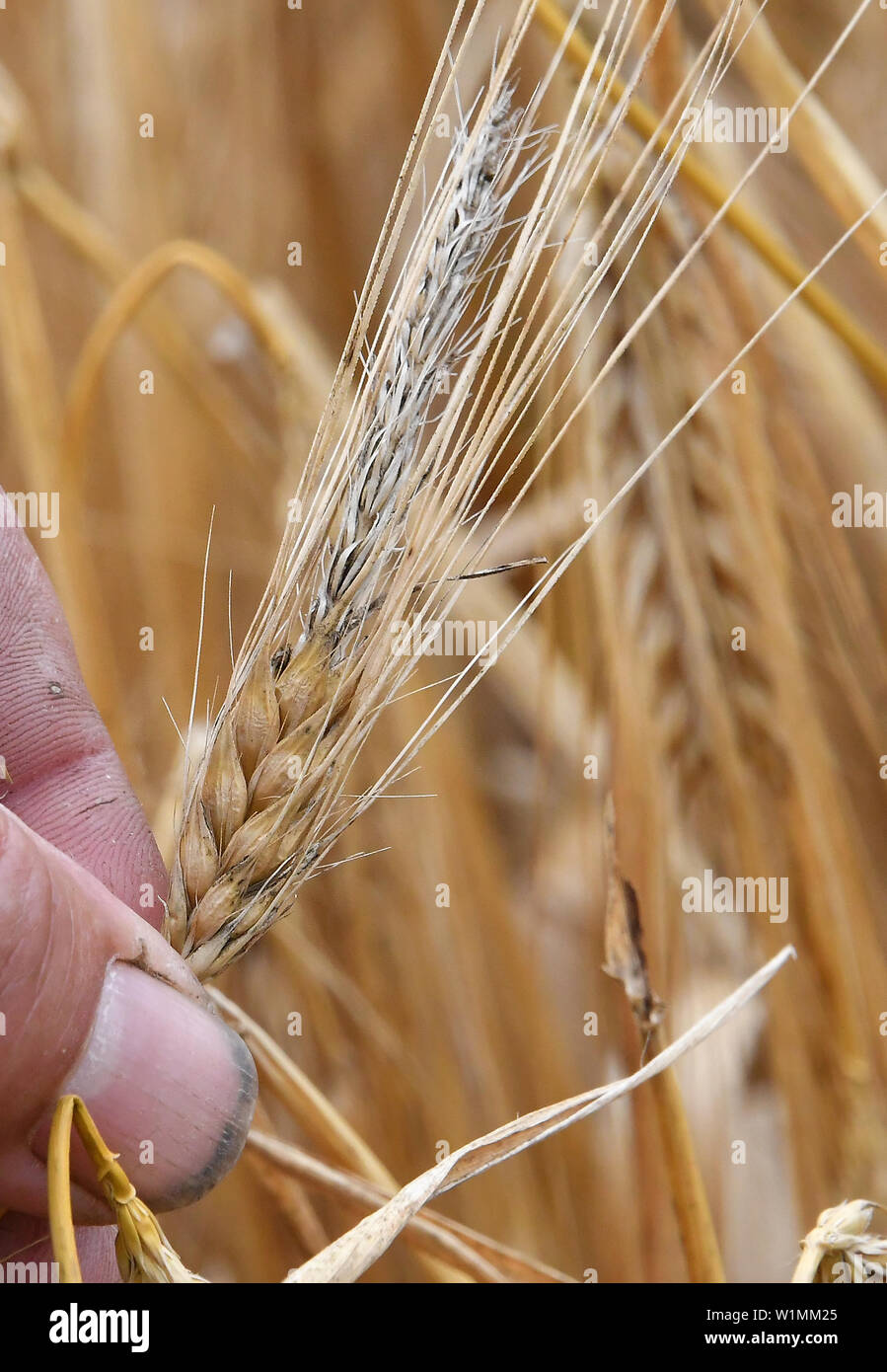 03 July 2019, Brandenburg, Dallgow-Döberitz: Winter barley grows at the press conference to start harvesting on a Brandenburg farm. Due to late frosts and drought, large harvest losses are expected. Photo: Bernd Settnik/dpa-Zentralbild/dpa - Stock Image