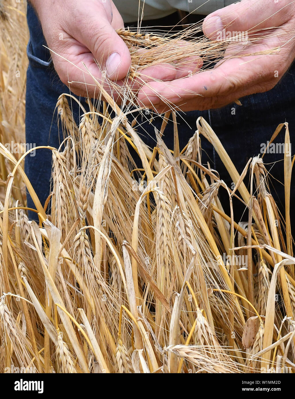 03 July 2019, Brandenburg, Dallgow-Döberitz: Henrik Wendorff, President of the Brandenburg State Farmers' Association, examines the quality of winter barley on a Brandenburg farm at the press conference at the start of the harvest. Late frosts and drought are expected to cause large crop losses. Photo: Bernd Settnik/dpa-Zentralbild/dpa - Stock Image