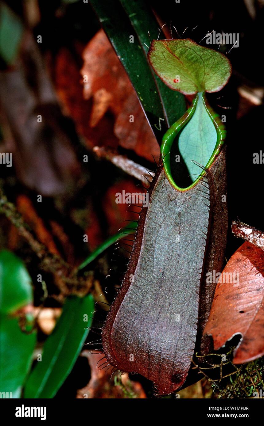 pitcher plant, Nepenthes tentaculata, Borneo, Sabah, Kota Kinabalu, Rafflesia Forest Reserve , Malaysia - Stock Image
