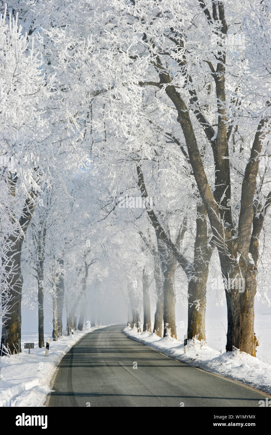 Alley in winter, trees with whitefrost, morning mist, Bavaria, Germany Stock Photo