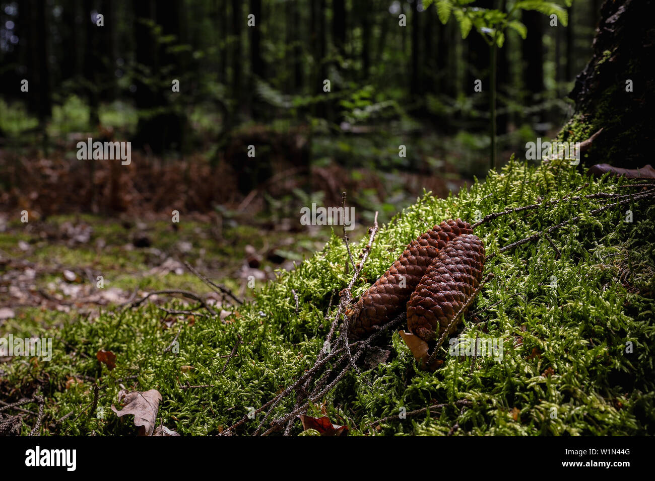 Pine cones fallen on forest ground - Stock Image